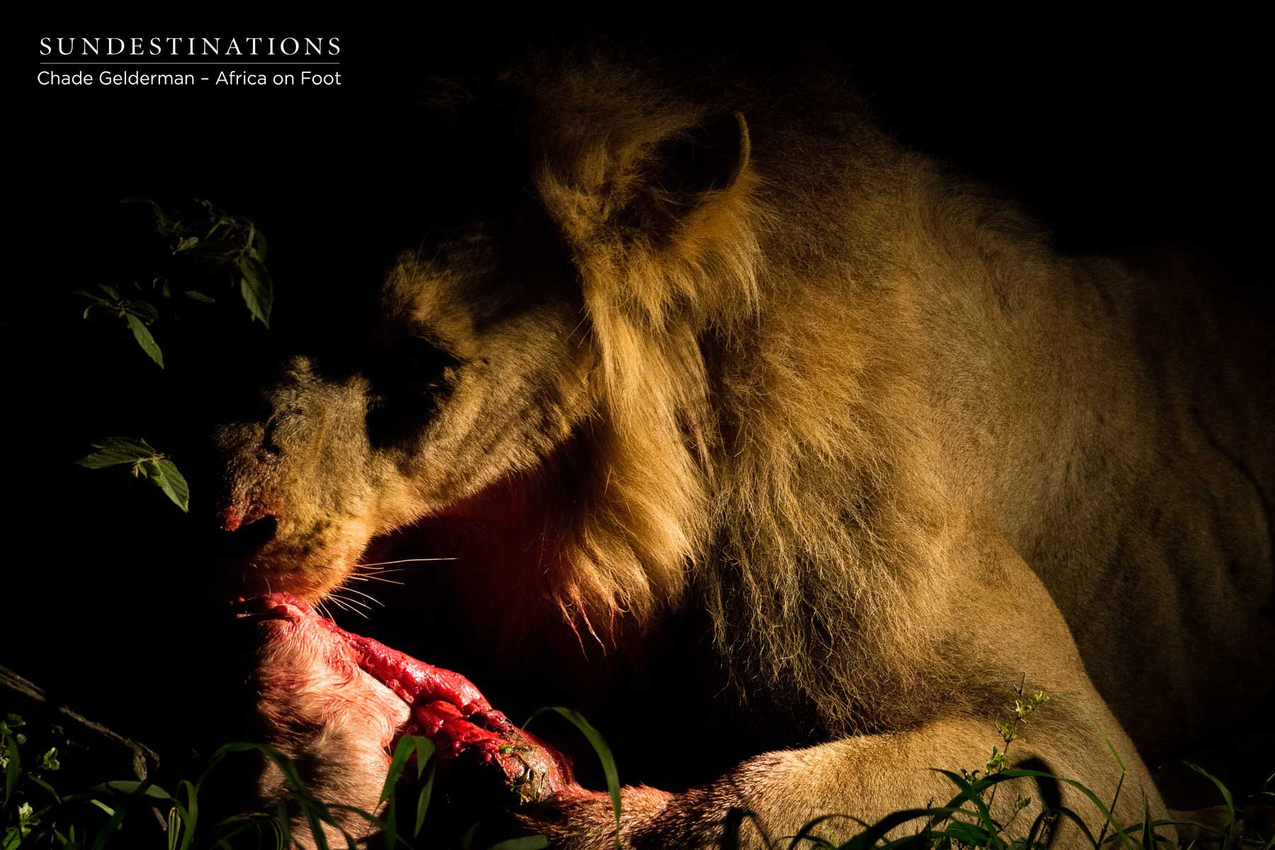 The Beastly Mbiri Male Lions Kill a Kudu Calf in the Klaserie