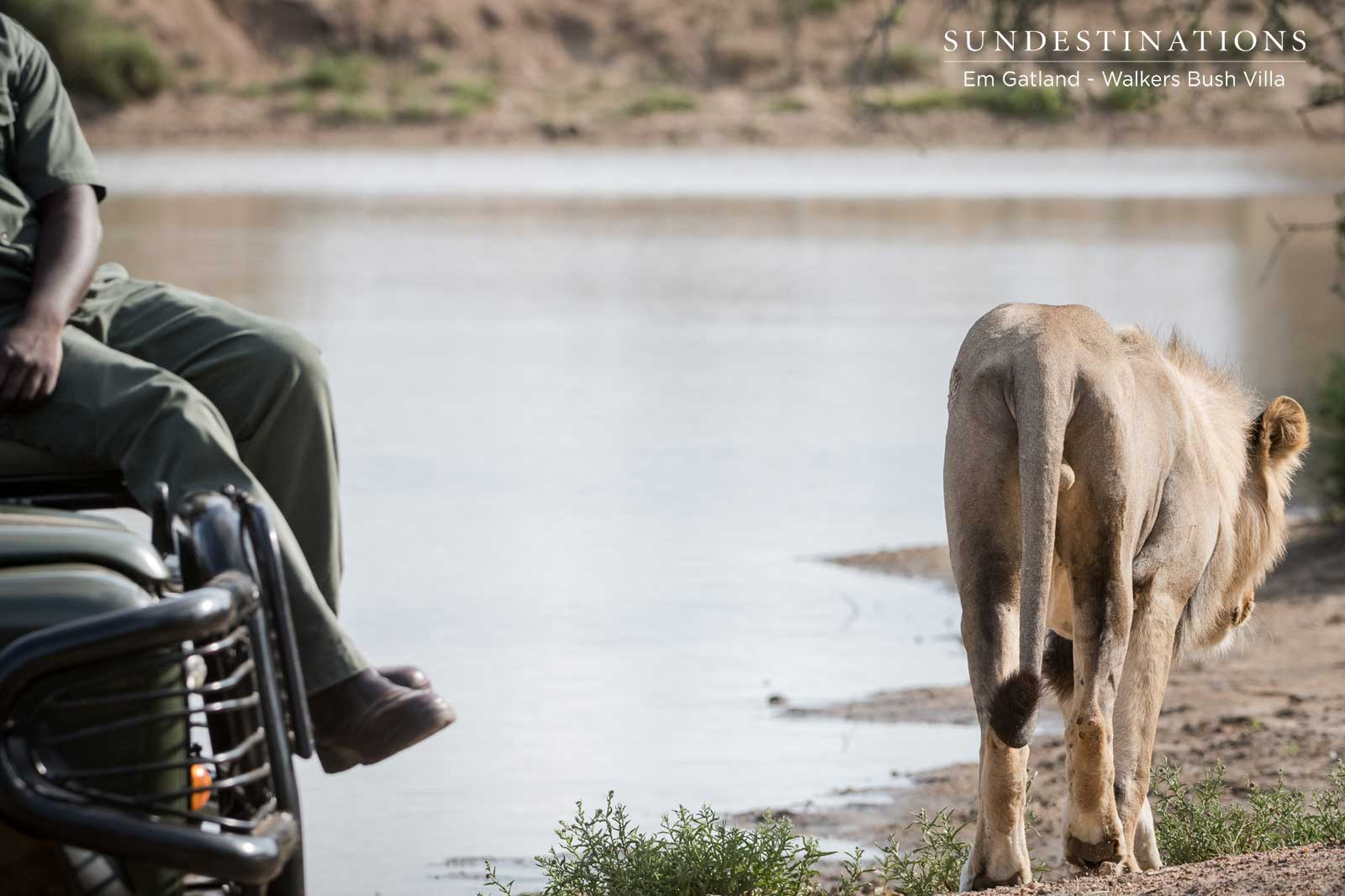 Observing the Mbiri Male Lions Relaxing at a Waterhole in Timbavati