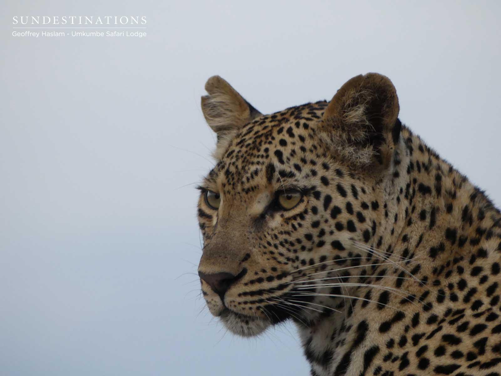 Sabi Sand Leopard - Natumi