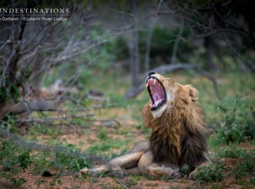 """With their hallmark swagger, burly presence and menacing incisorsdesigned to shred meat with blade like precision; the Machaton male lions have certainly emerged the victors in terms of creating the much talked about """"landscape of fear"""" here in the Balule. The Machaton boys make up the bulk of the male lion sightings at Ezulwini Game […]"""