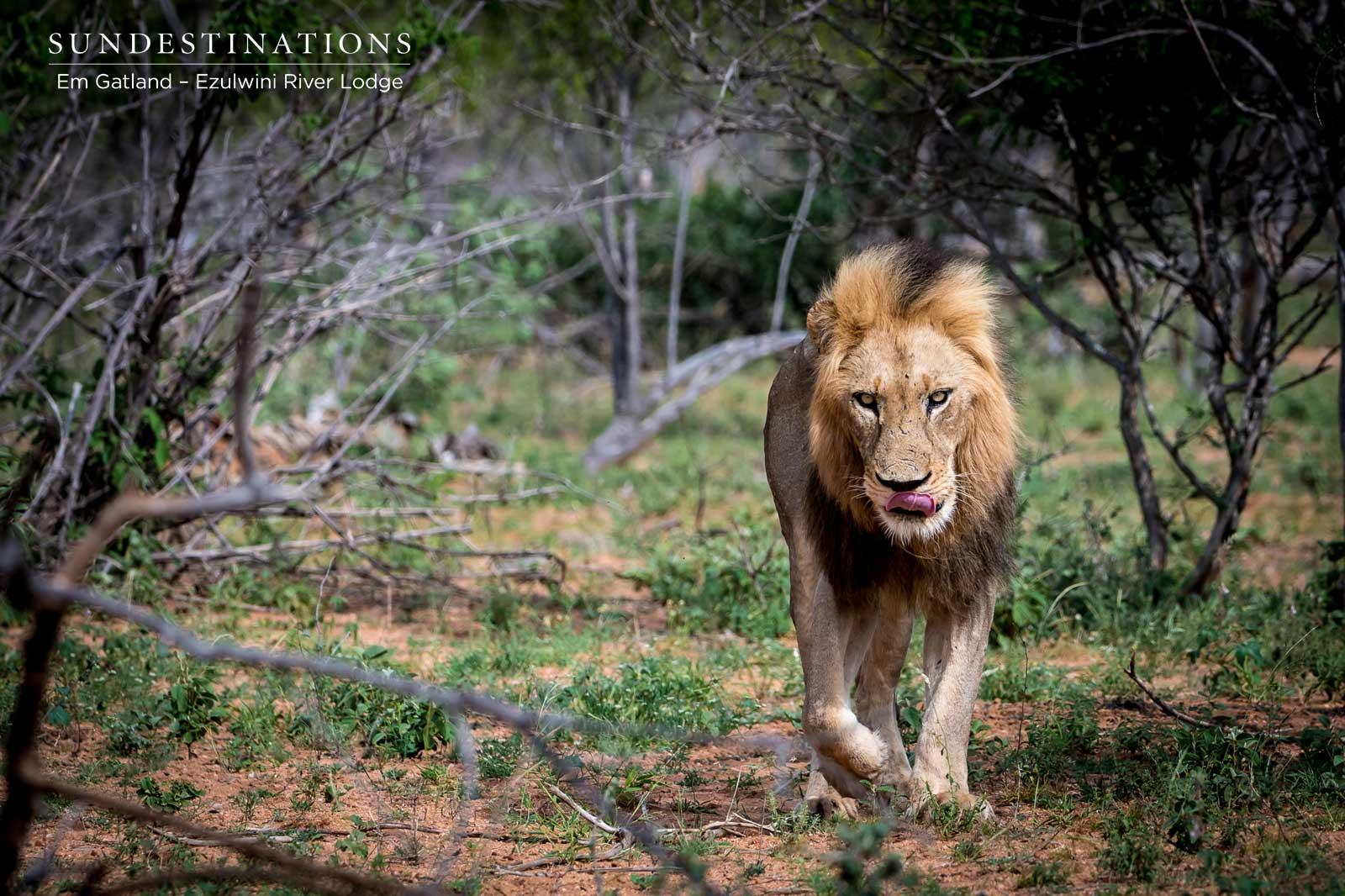 Ezulwini Machaton Lion Patrol