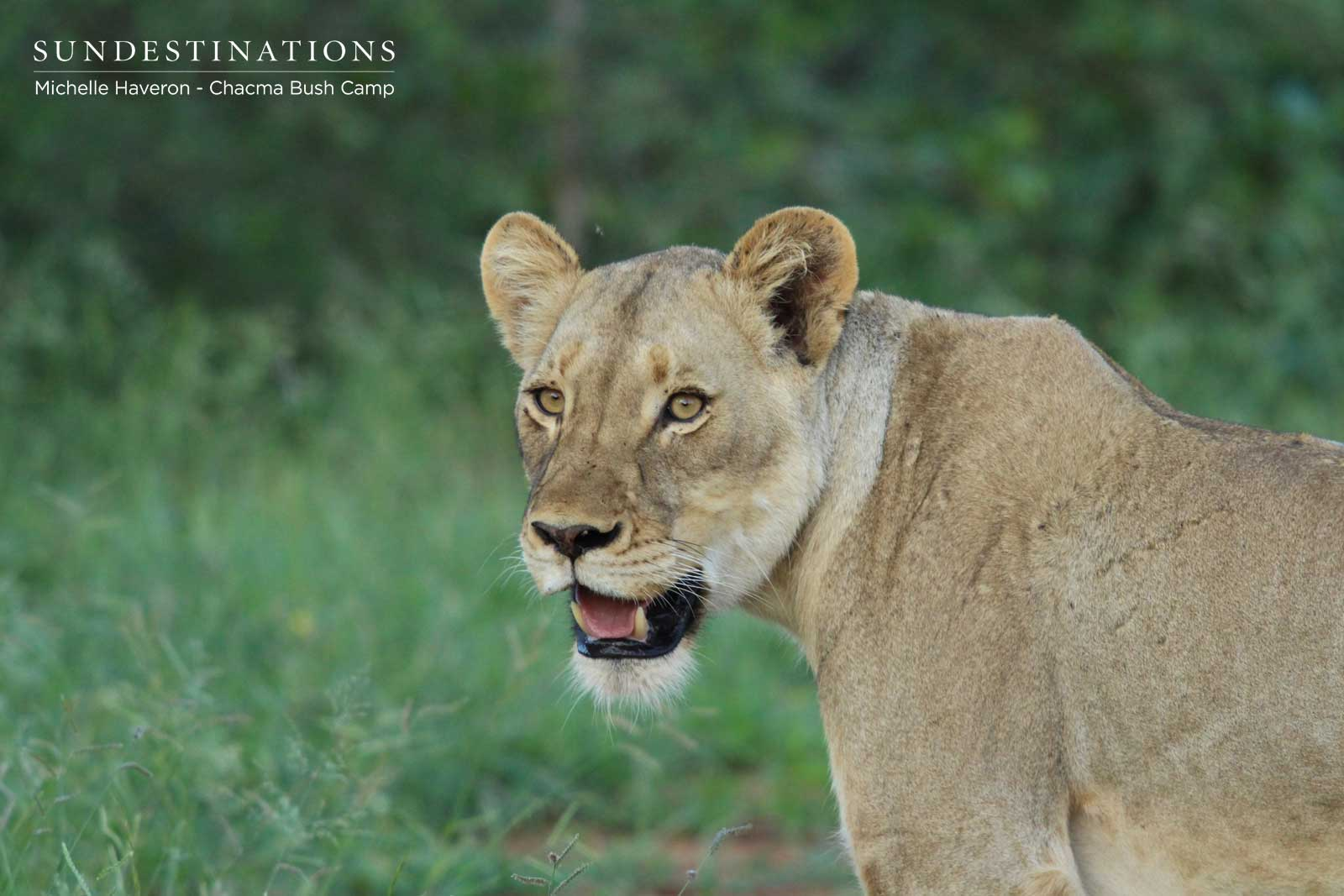 Lioness Chacma