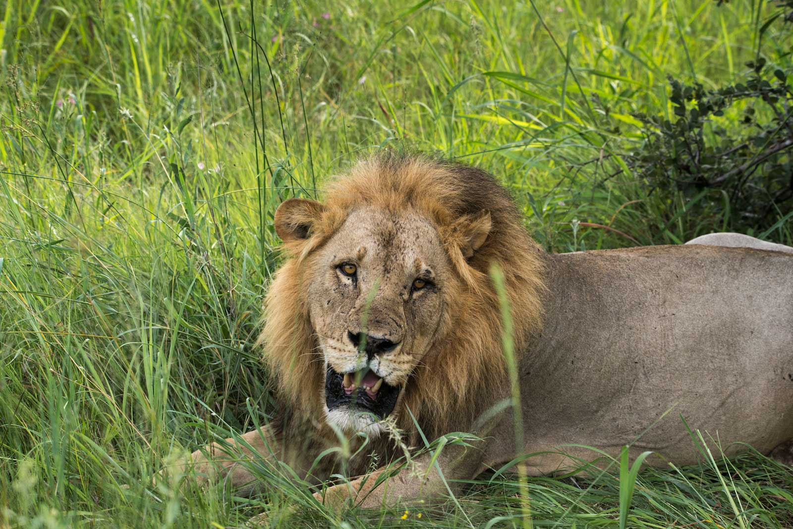 RAW Botswana, Motswiri Camp : Hefty Male Lions Devour Kill in the Selinda