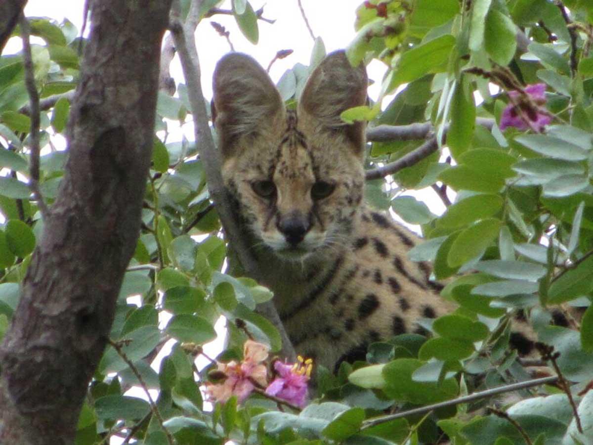 Serval Cat at RAW Botswana