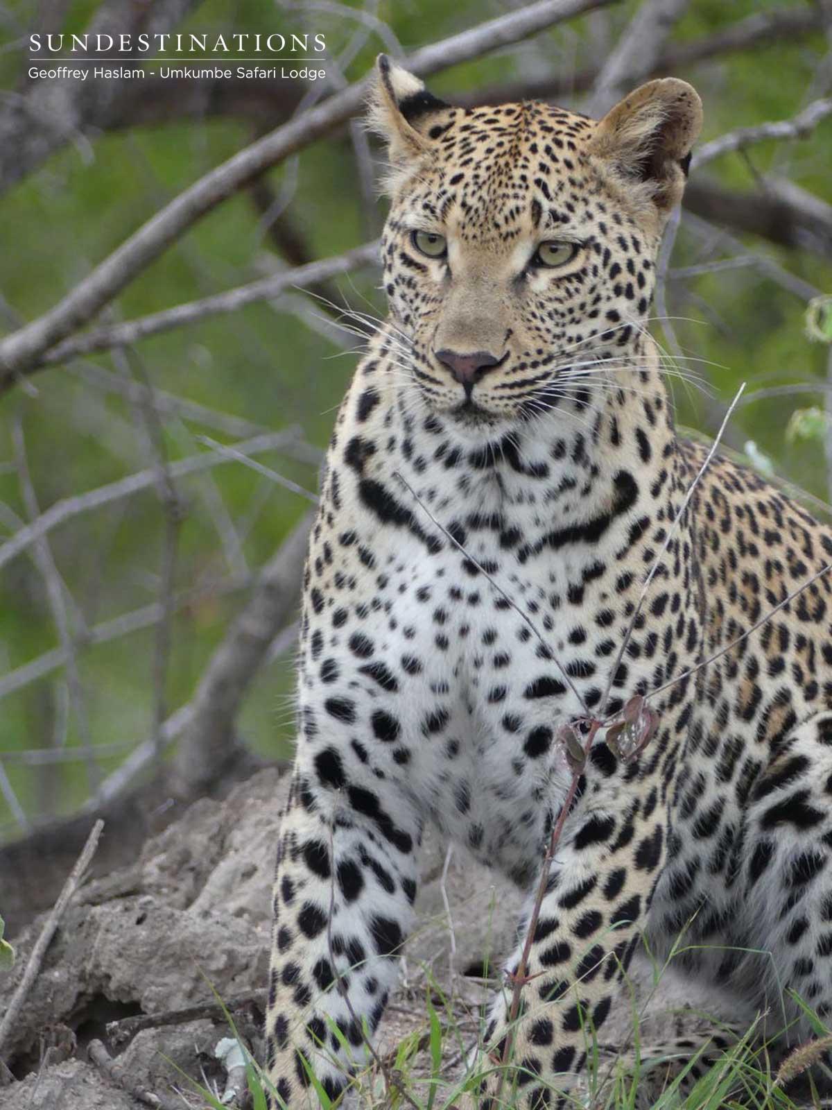Umkumbe Natumi Leopardess