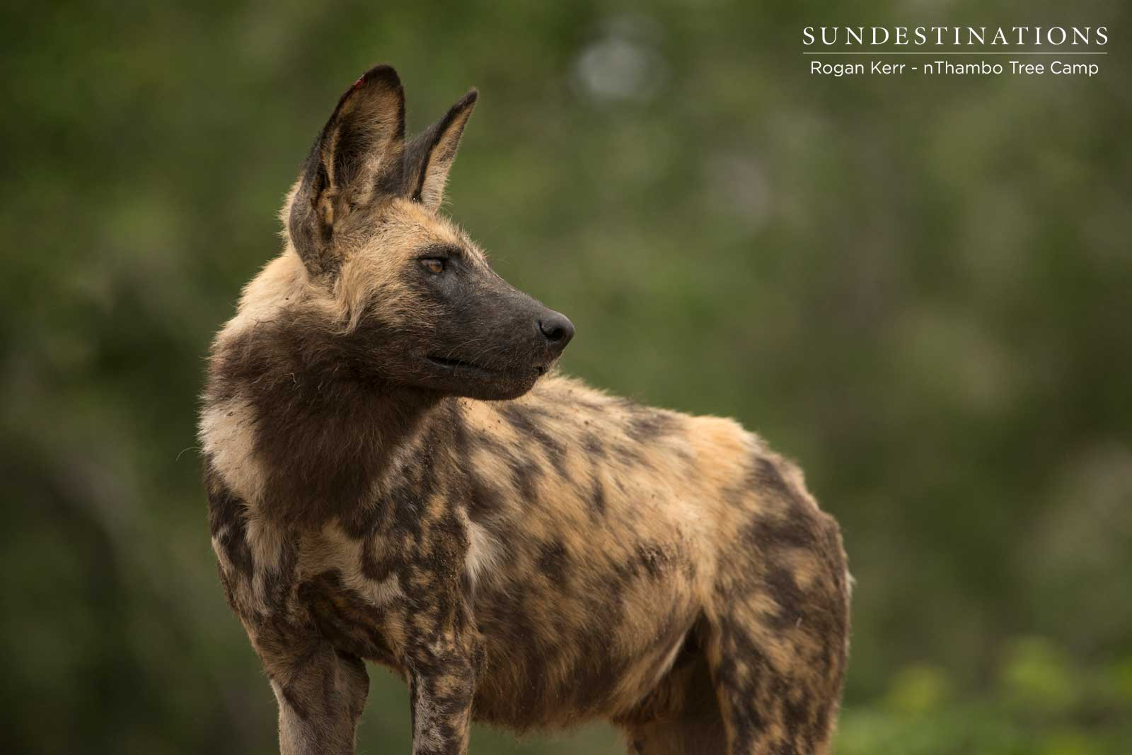 Wild Dogs nThambo and Africa on Foot
