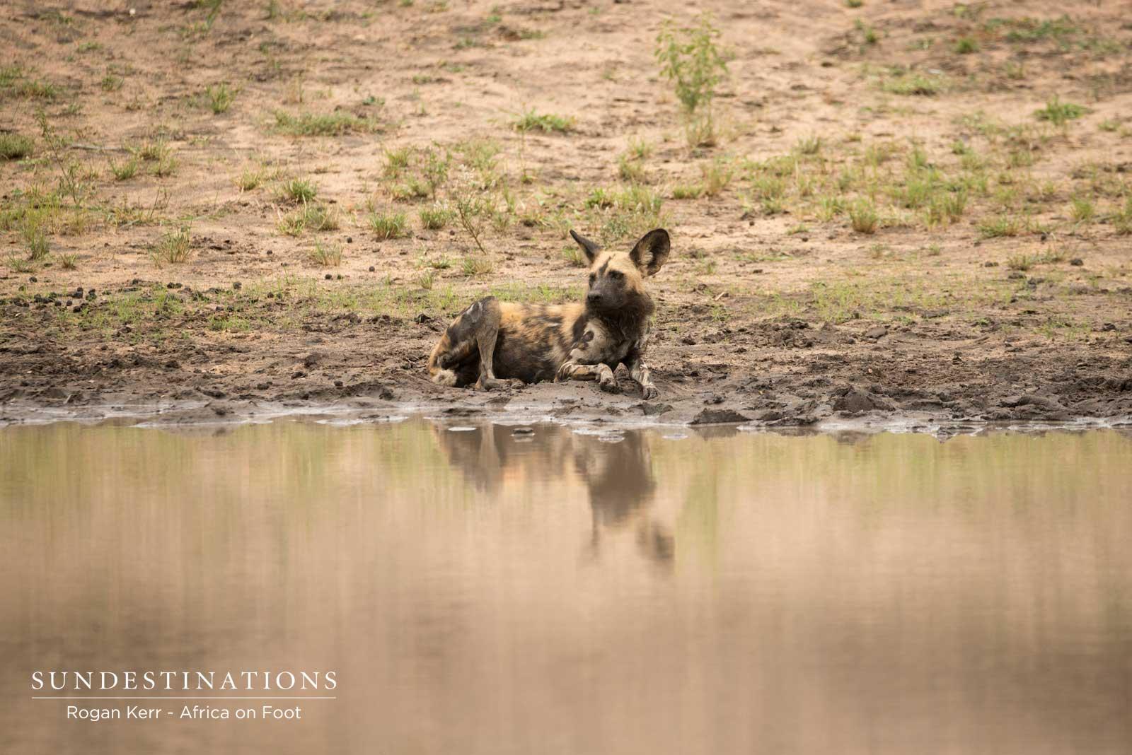 African Wild Dogs Klaserie
