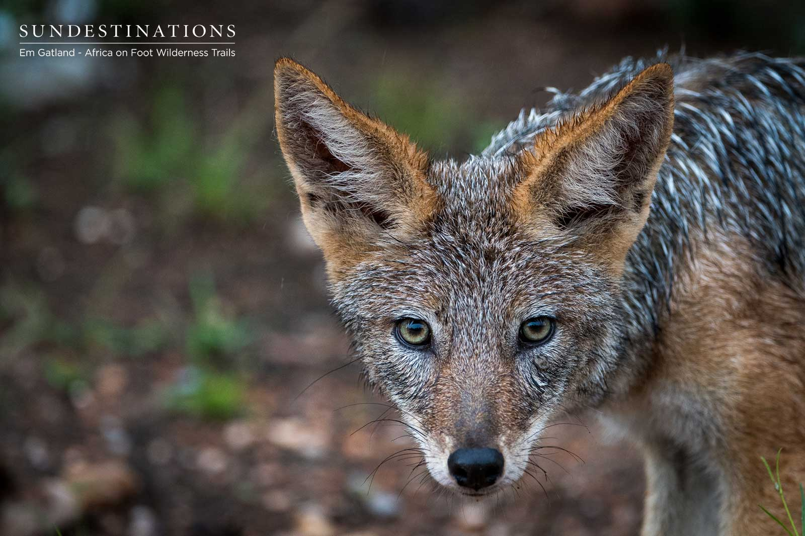 Jackals in the Maseke Game Reserve