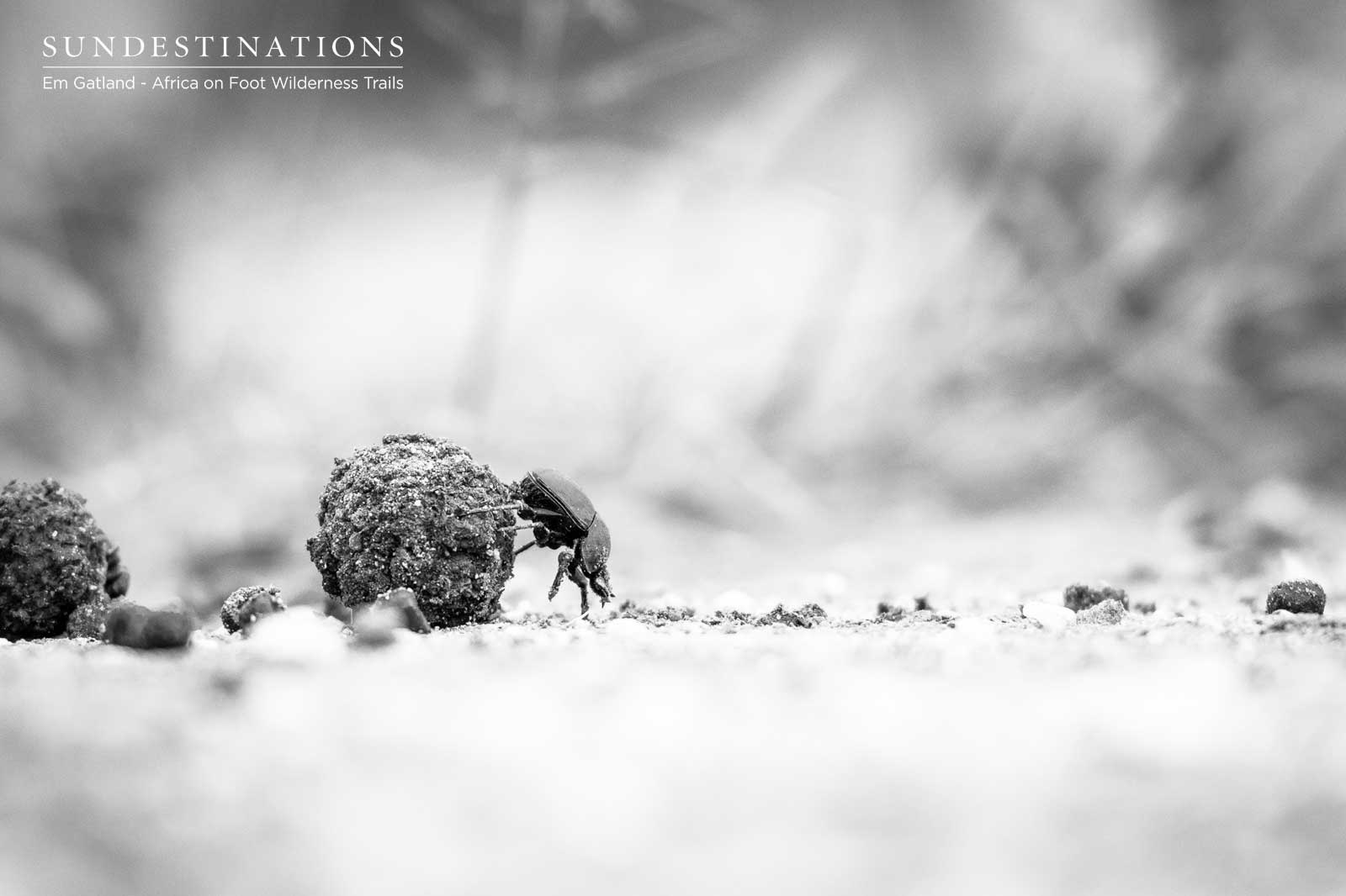 Dung Beetle on Trails