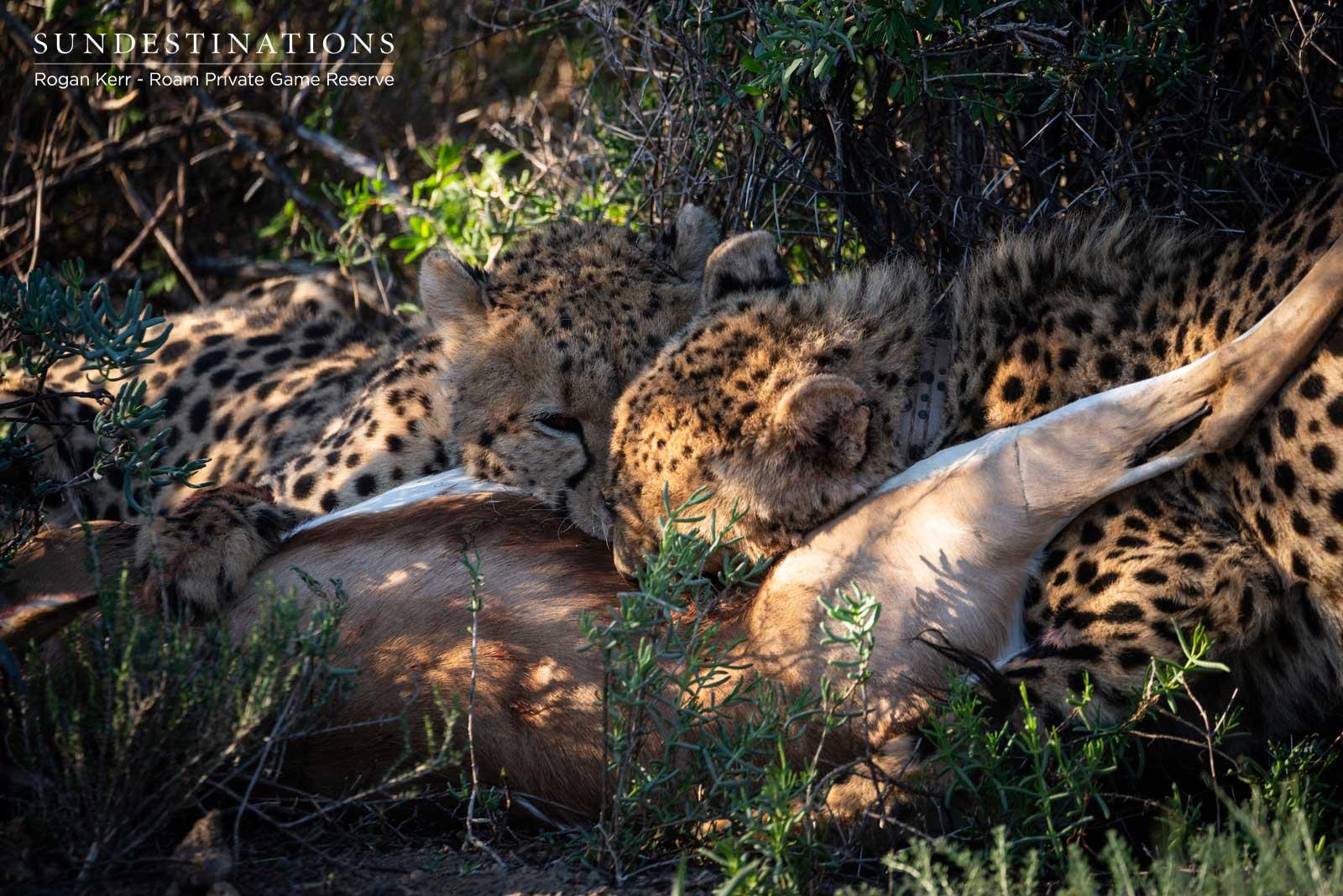 Roam Private Reserve Cheetah