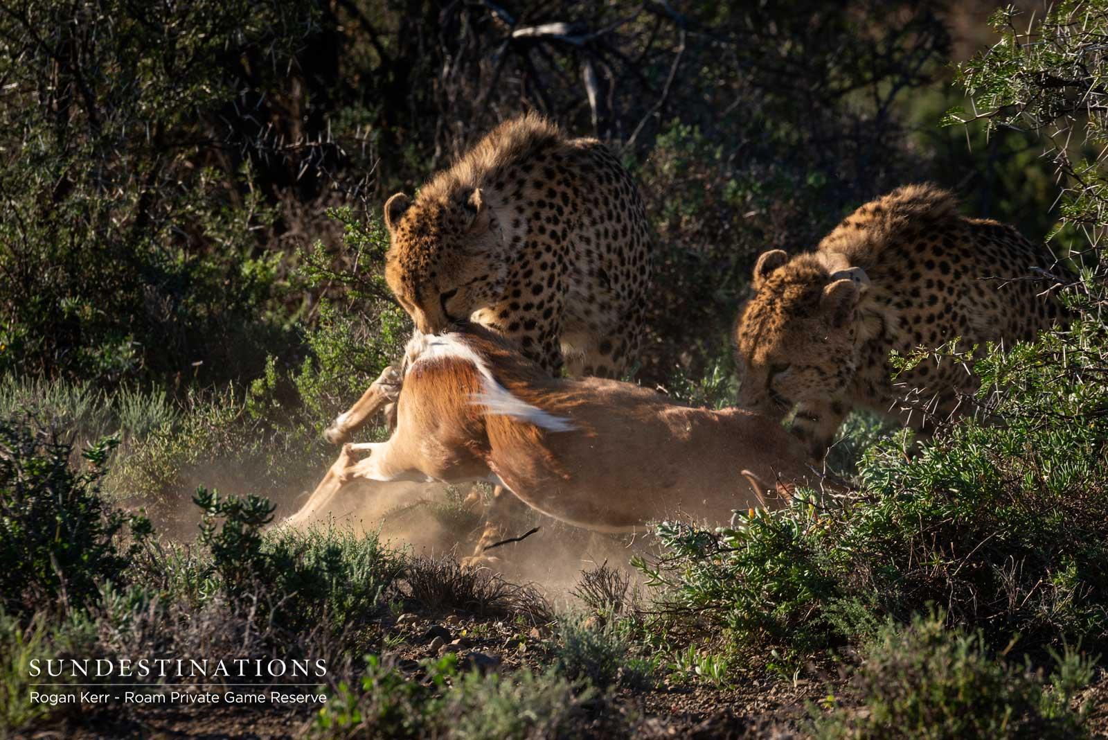 Roam Karoo Cheetah