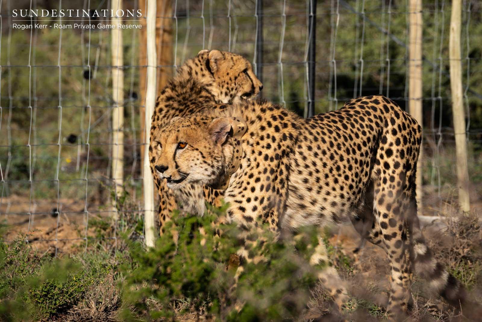Roam Private Game Reserve Cheetah
