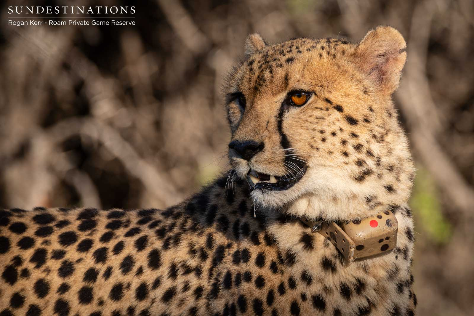 Cheetah Release into Roam Private Game Reserve