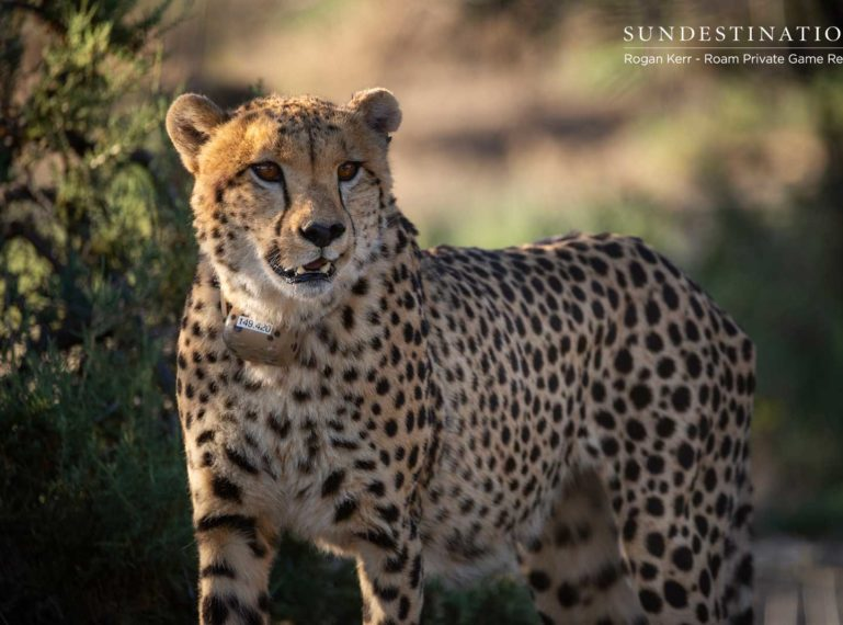 Roam Private Game Reserve Release Cheetah into the Great Karoo
