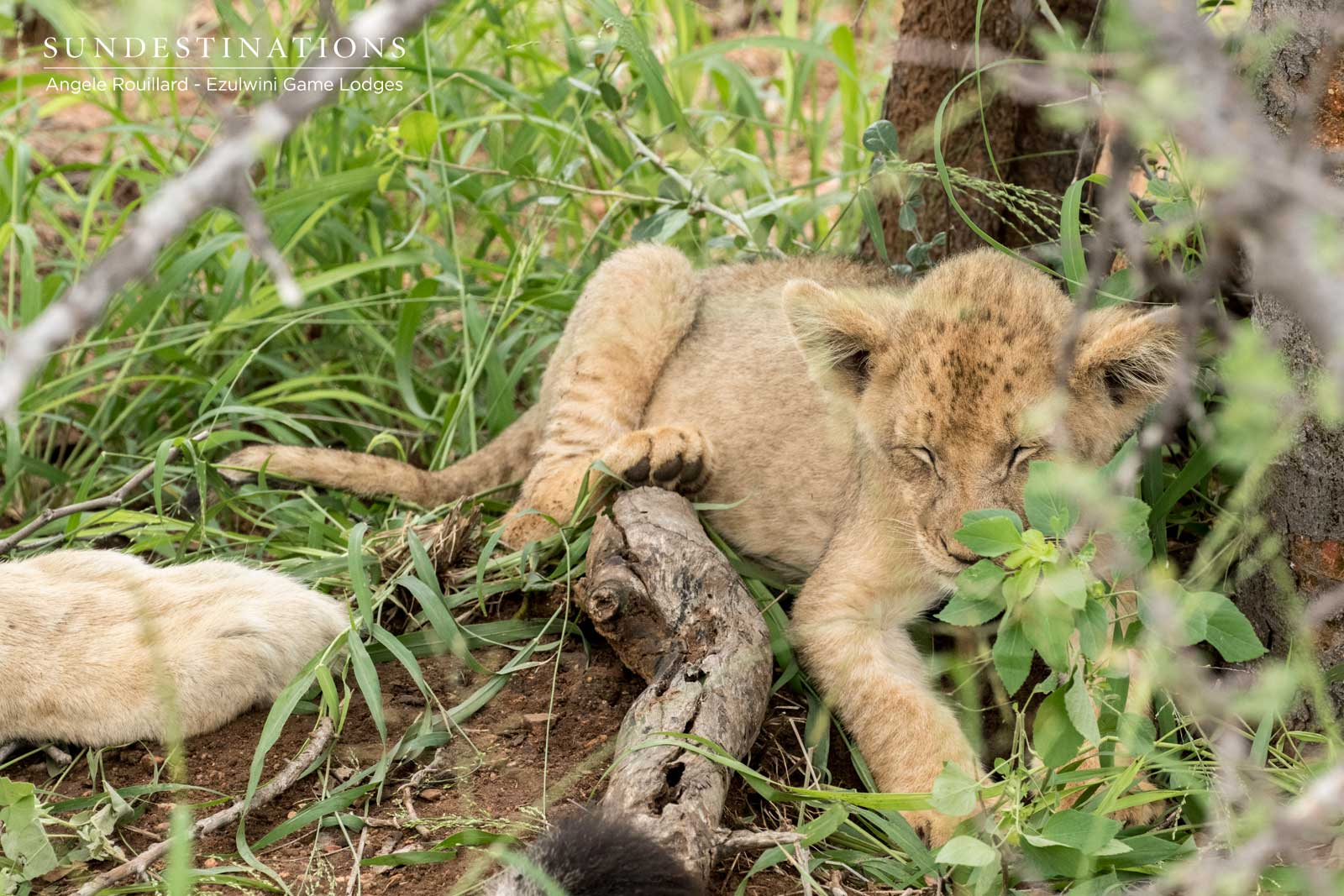 Lion Cubs and Leopards in the Balule Nature Reserve
