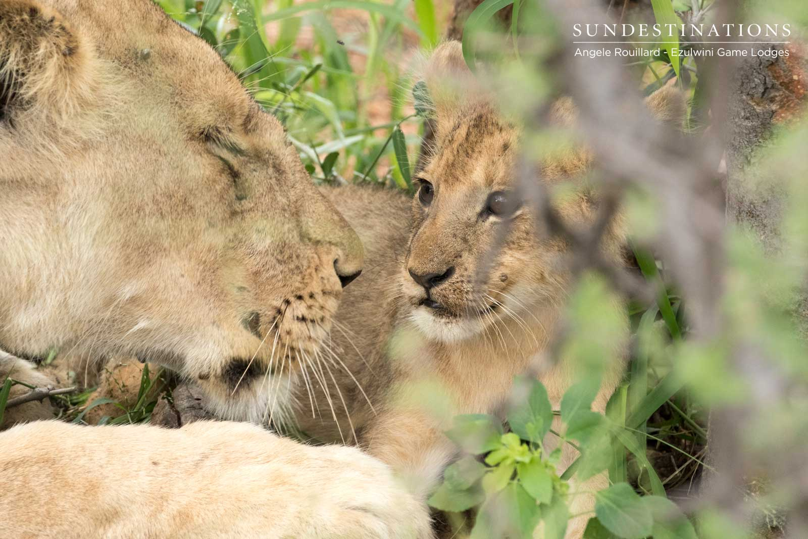 Ezulwini Lion Cubs in the Balule Nature Reserve