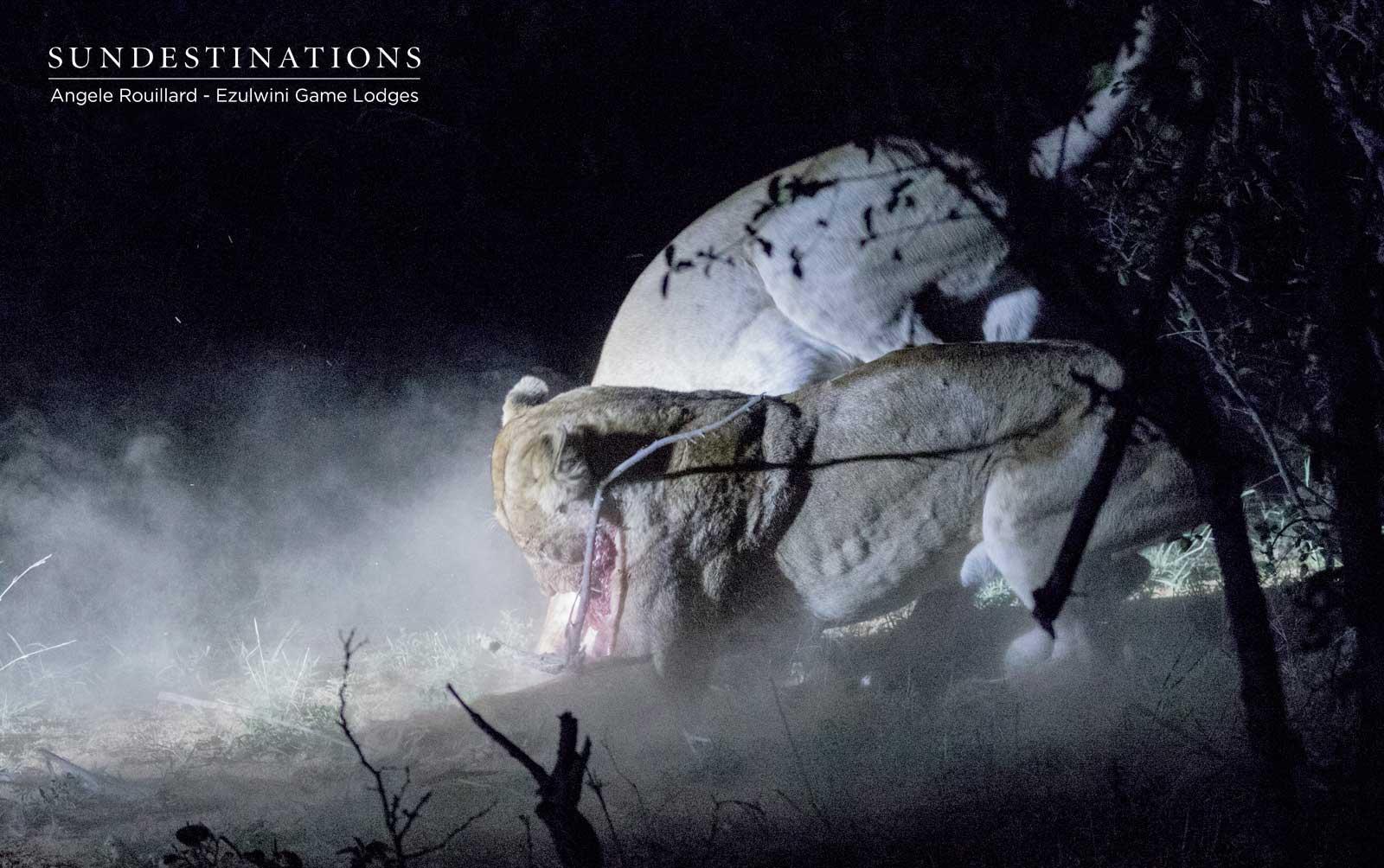 Kudyela Lioness Scuffle