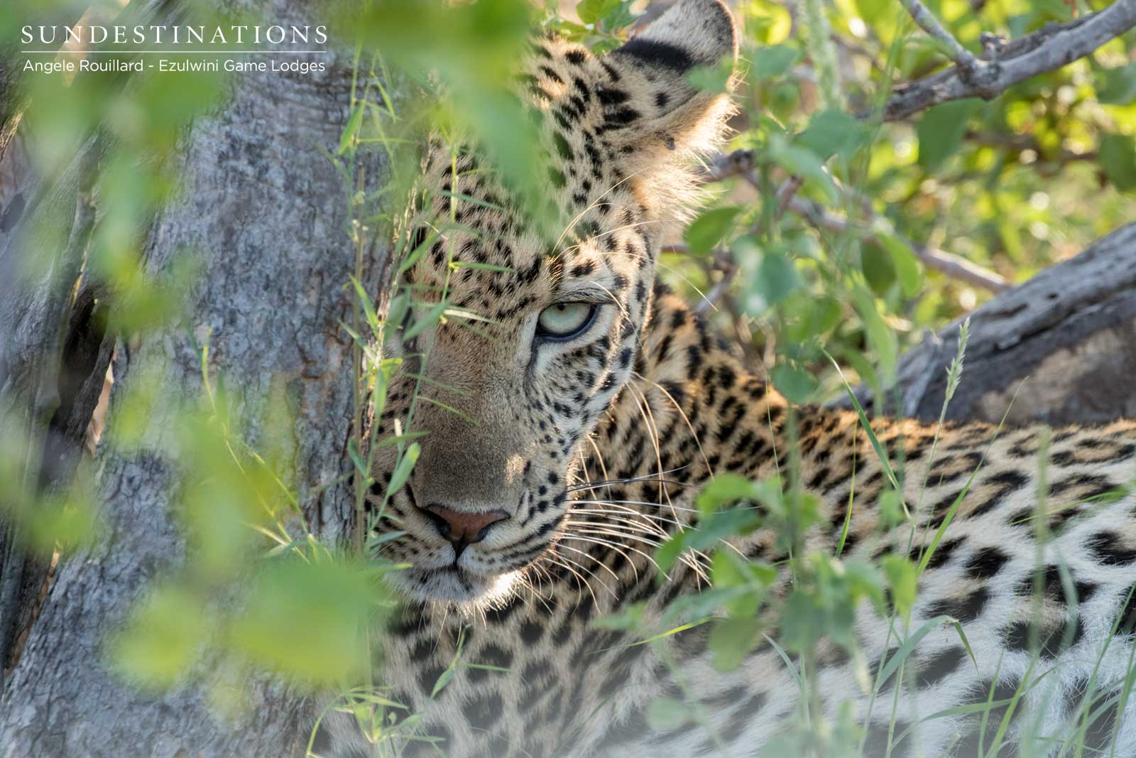 Ezulwini Leopard in the Balule