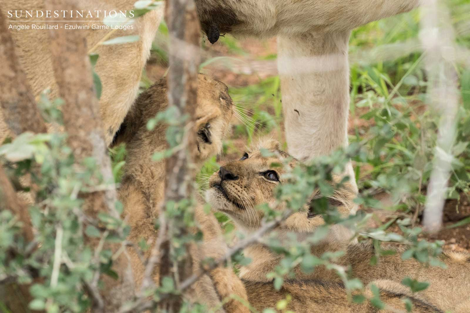 Kudyela Lion Cubs in Balule