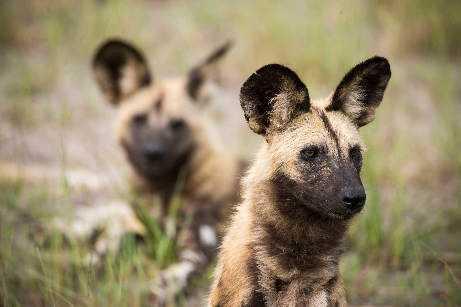 RAW Botswana Wild Dogs