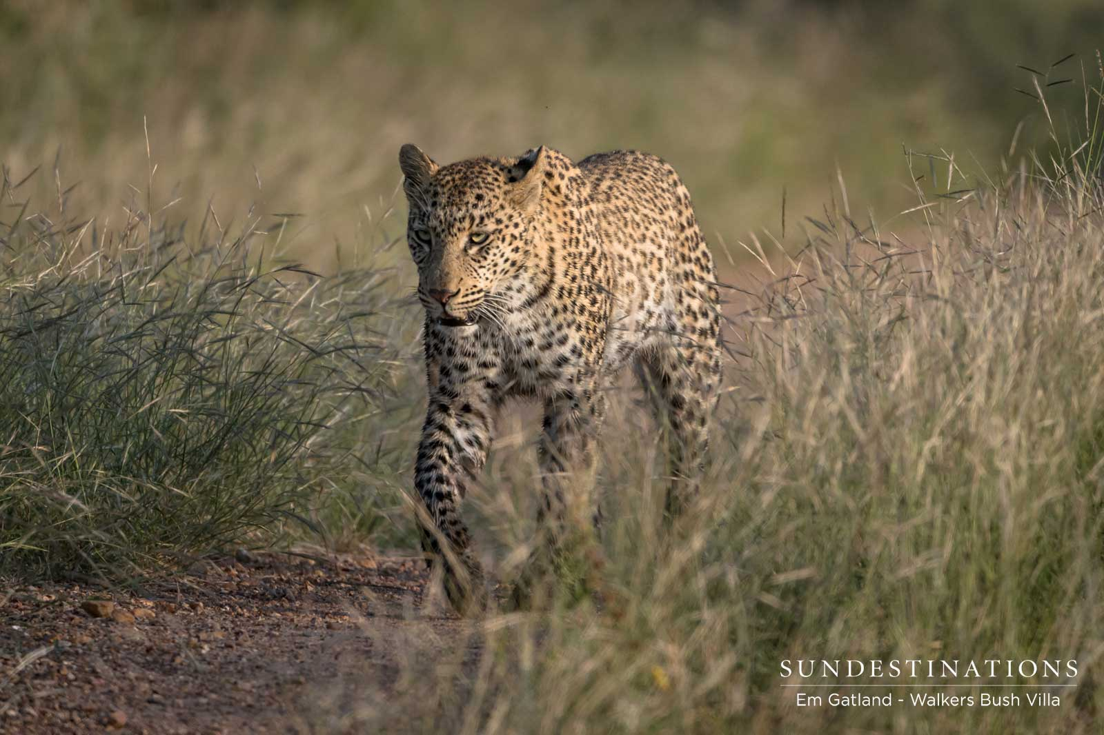 Walkers Bush Villa Game Drive Leads to Sunset Dam Leopard Sighting