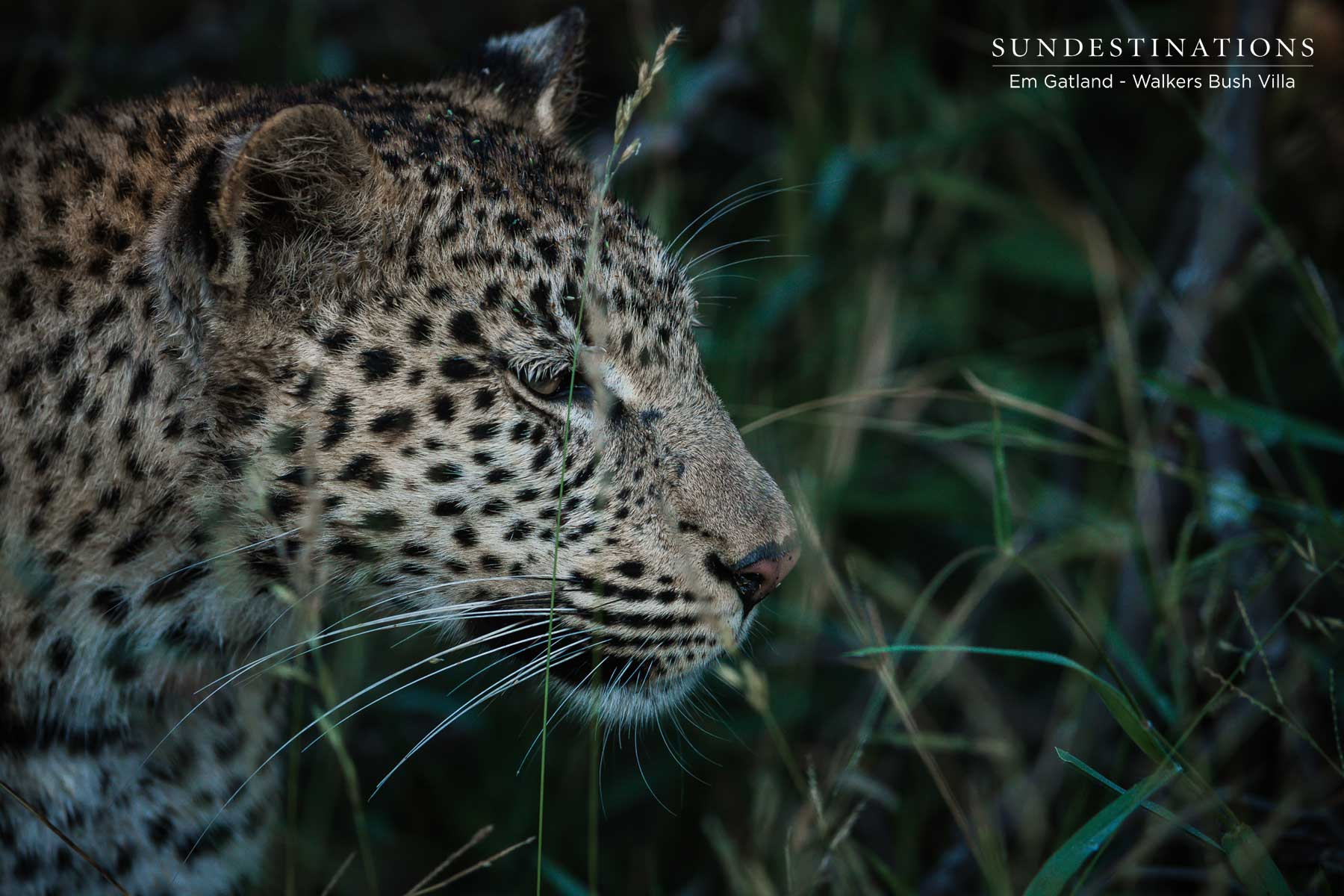 Leopards of the Timbavati Private Nature Reserve