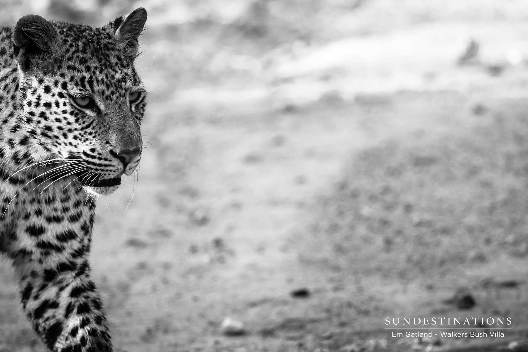 Walkers Bush Villa Leopards