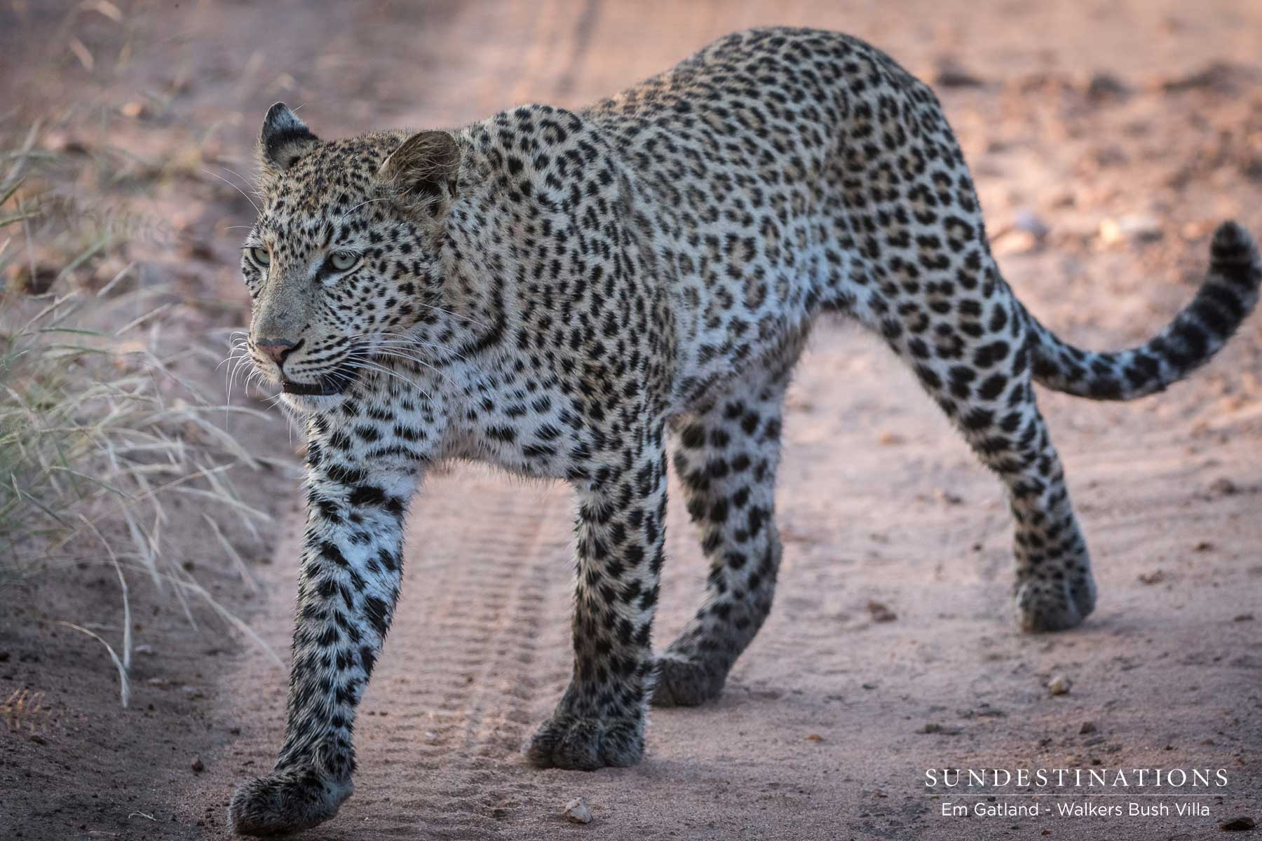 Leopardess in the Greater Kruger