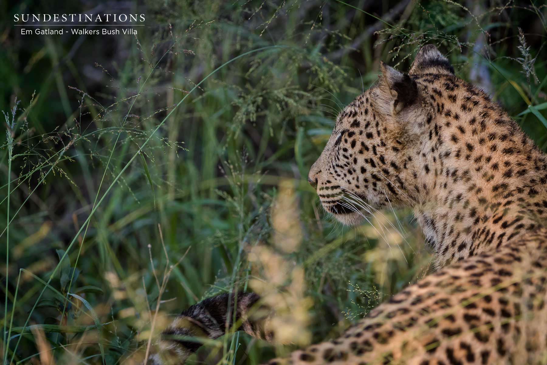 Sunset the Leopardess