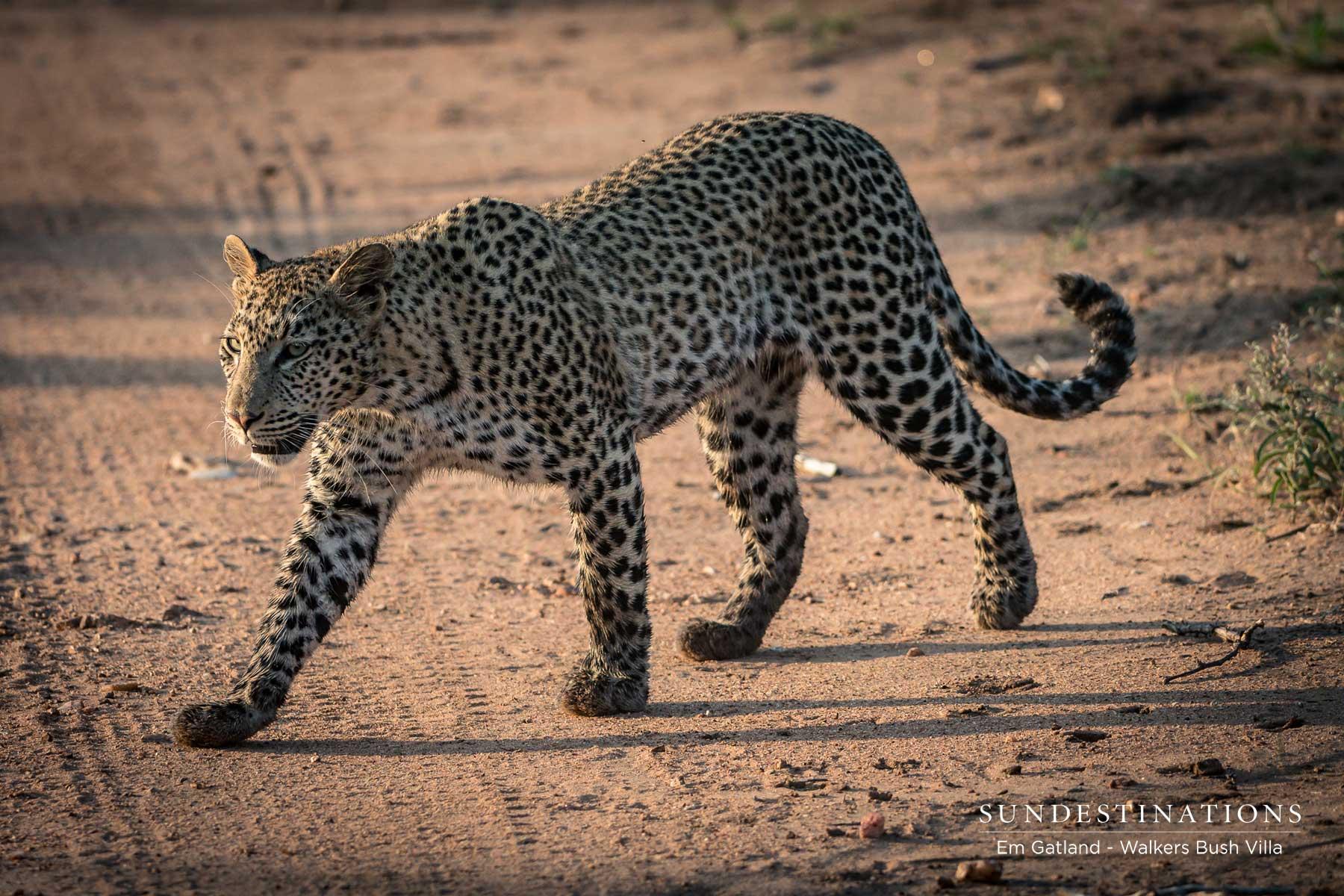 Leopardess in Timbavati