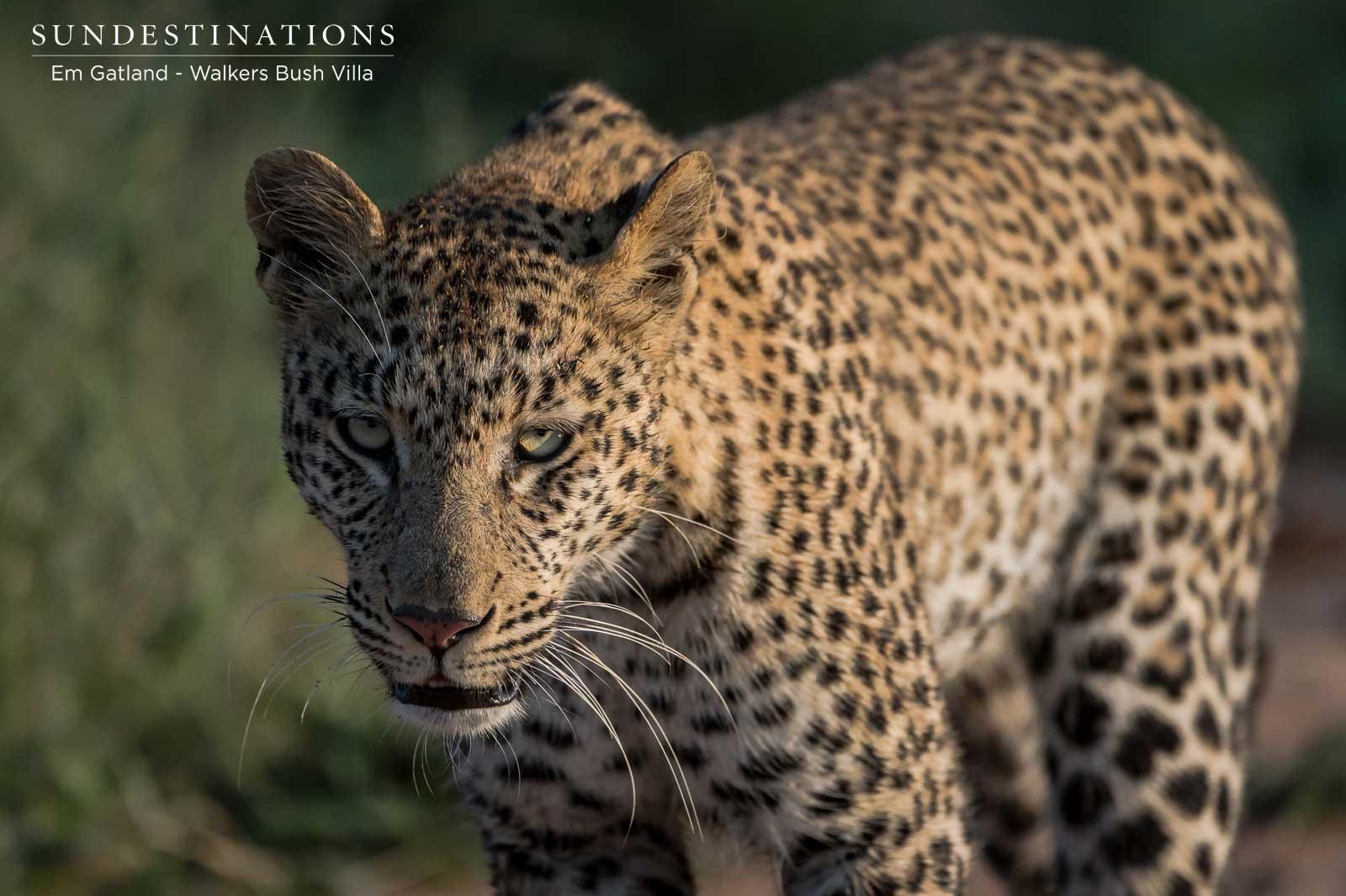Leopards at Walkers Bush Villa