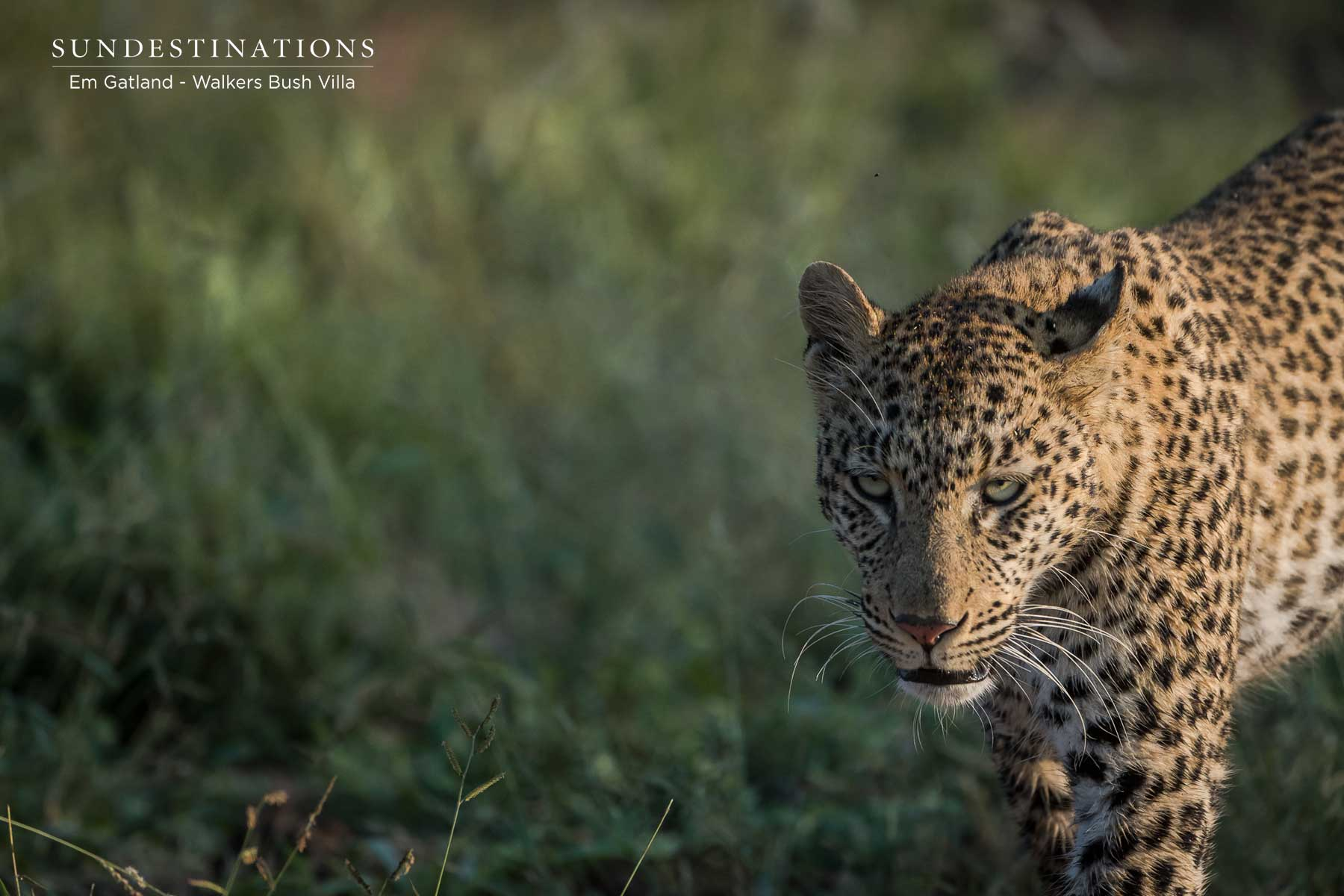 Female Leopard on Game Drive with Walkers