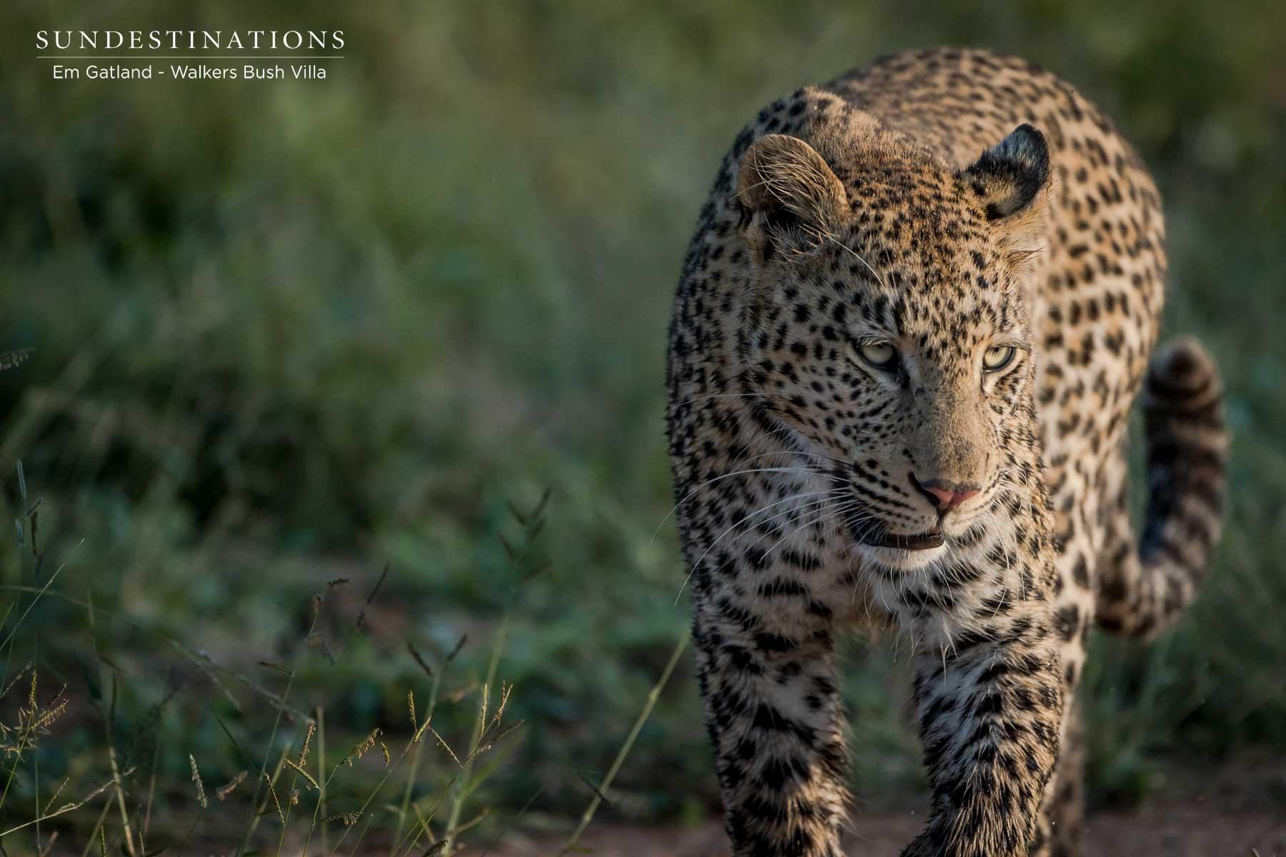 Walkers Bush Villa Sunset Leopard