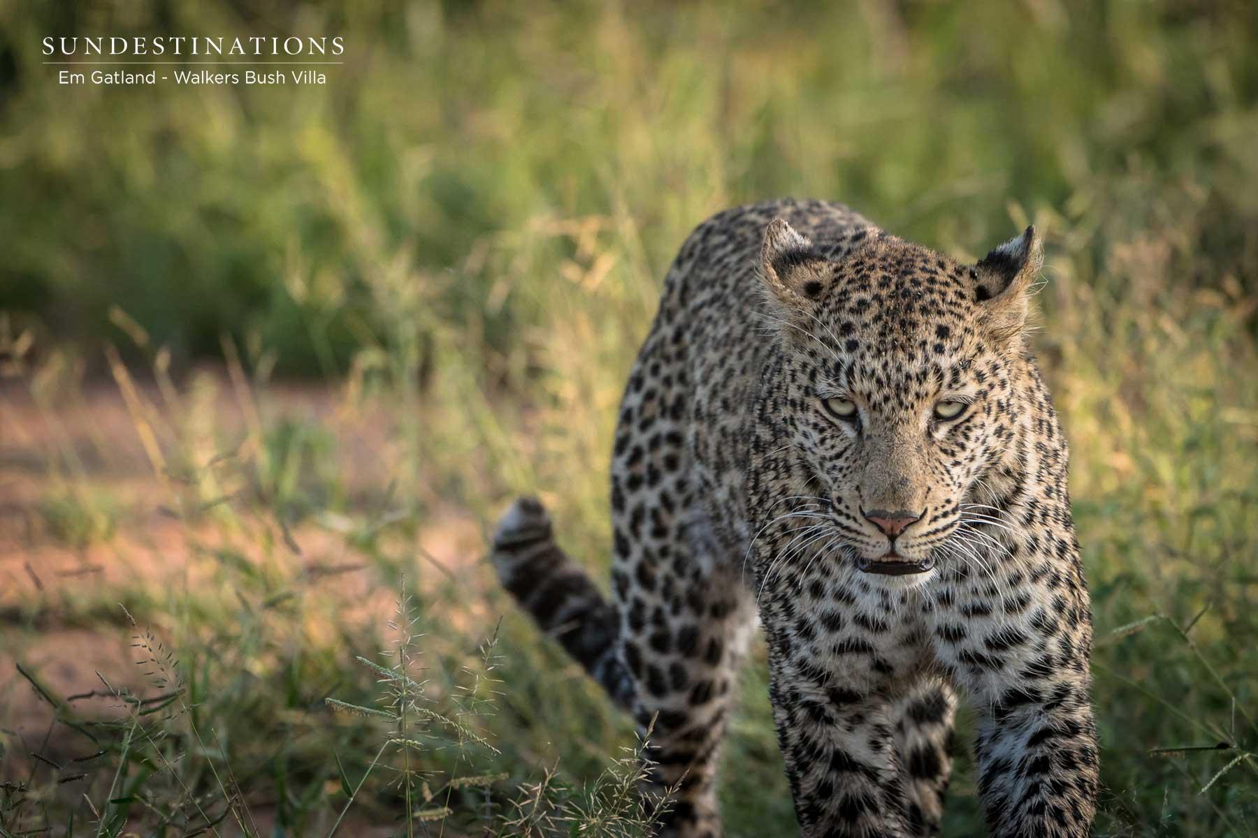Timbavati Sunset Leopardess