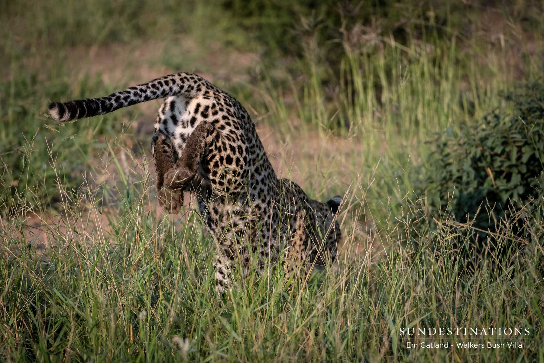 Sunset Leopardess Moves into Territory