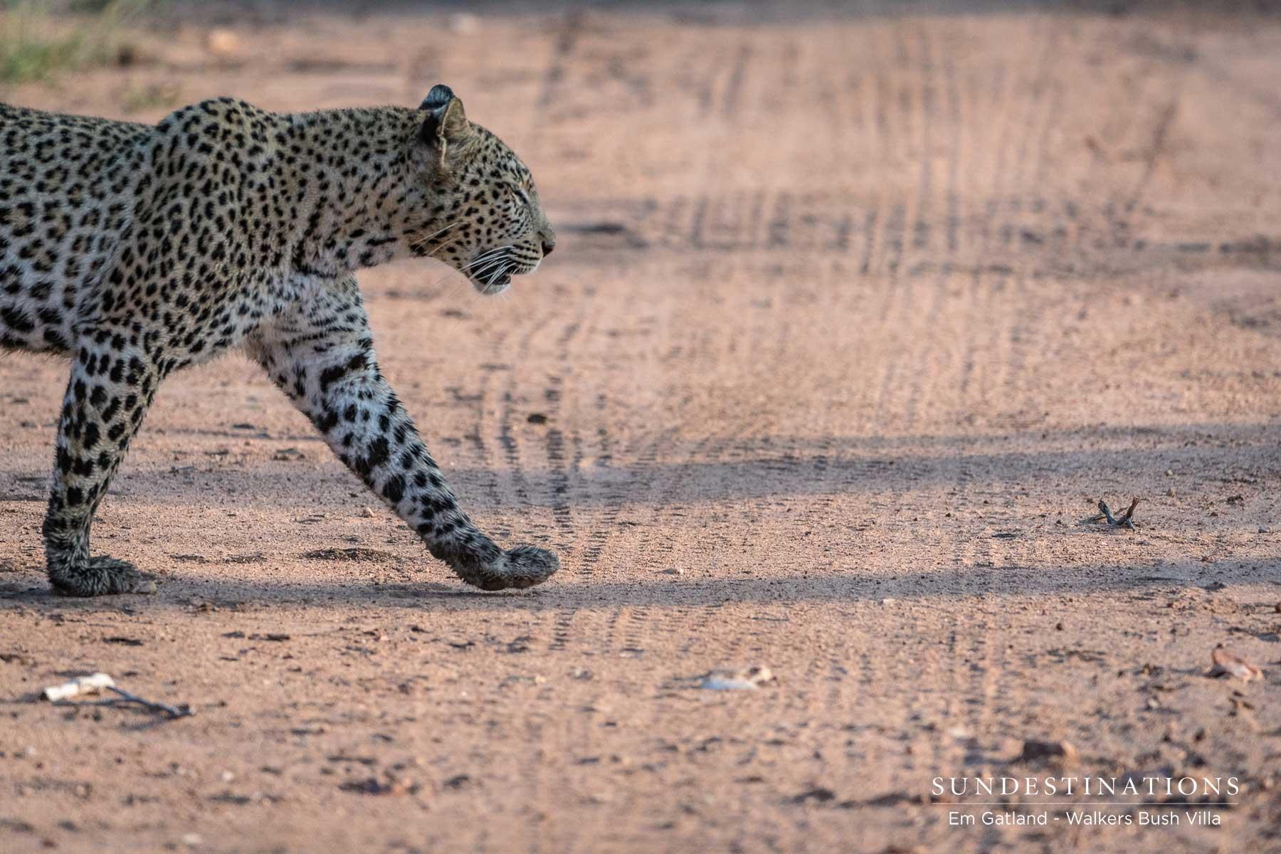 Sunset Leopardess Patrols the Timbavati