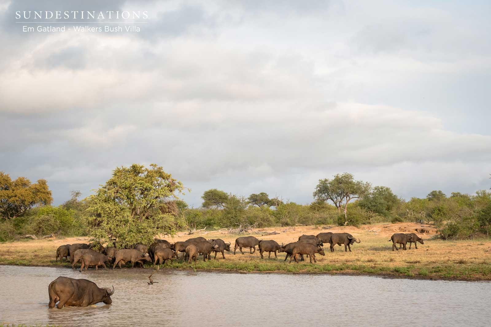 Walkers Bush Villa Buffalo Herd