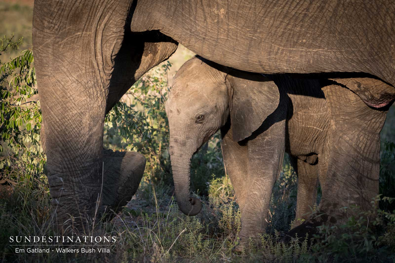 Showcasing the Timbavati's Pachyderms and Bovids