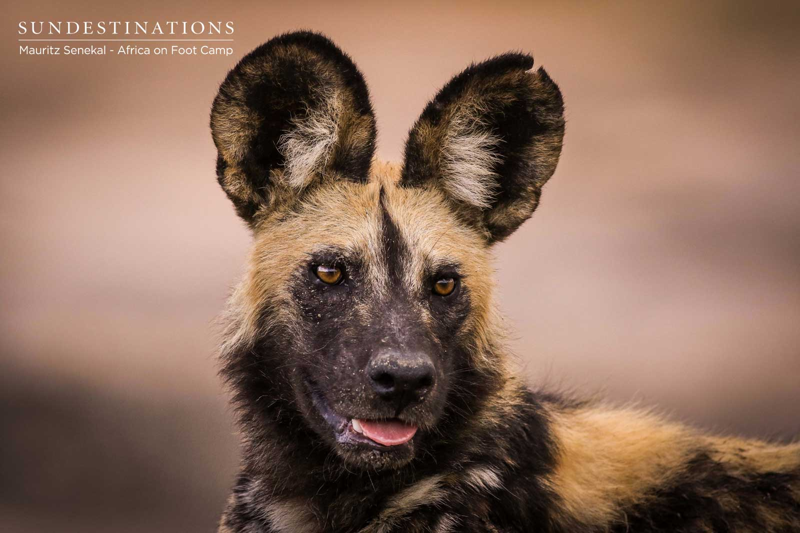 Wild Dogs Africa on Foot