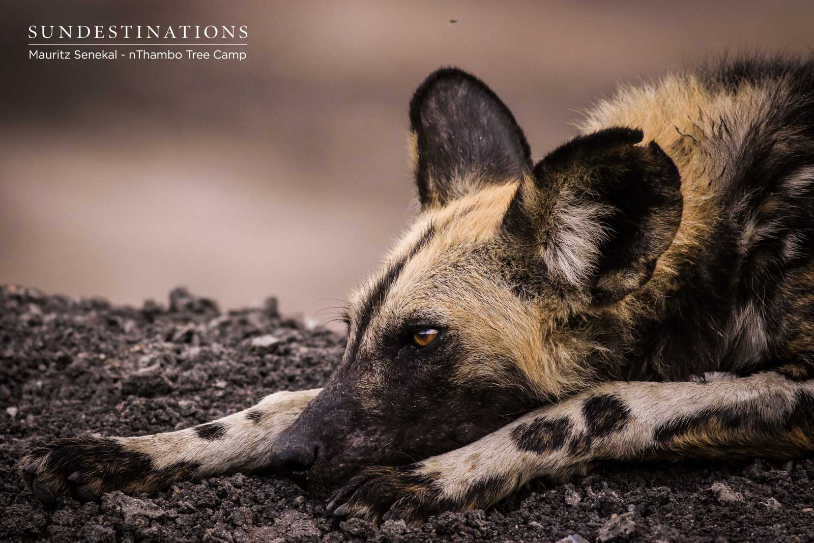 Witnessing the Wild Dogs Stalking and Taking Down Prey in the Klaserie