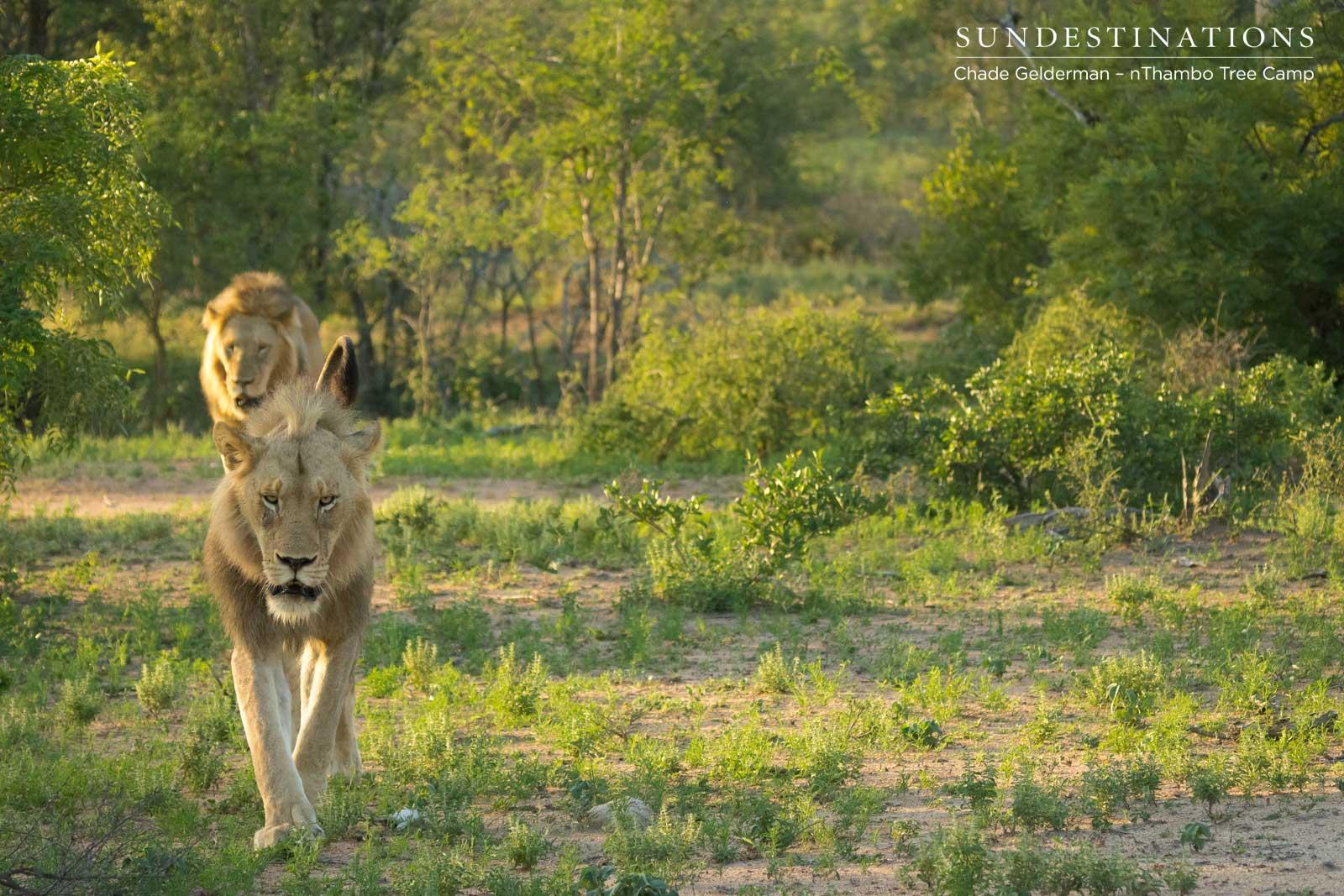 Mbiri Male Lions