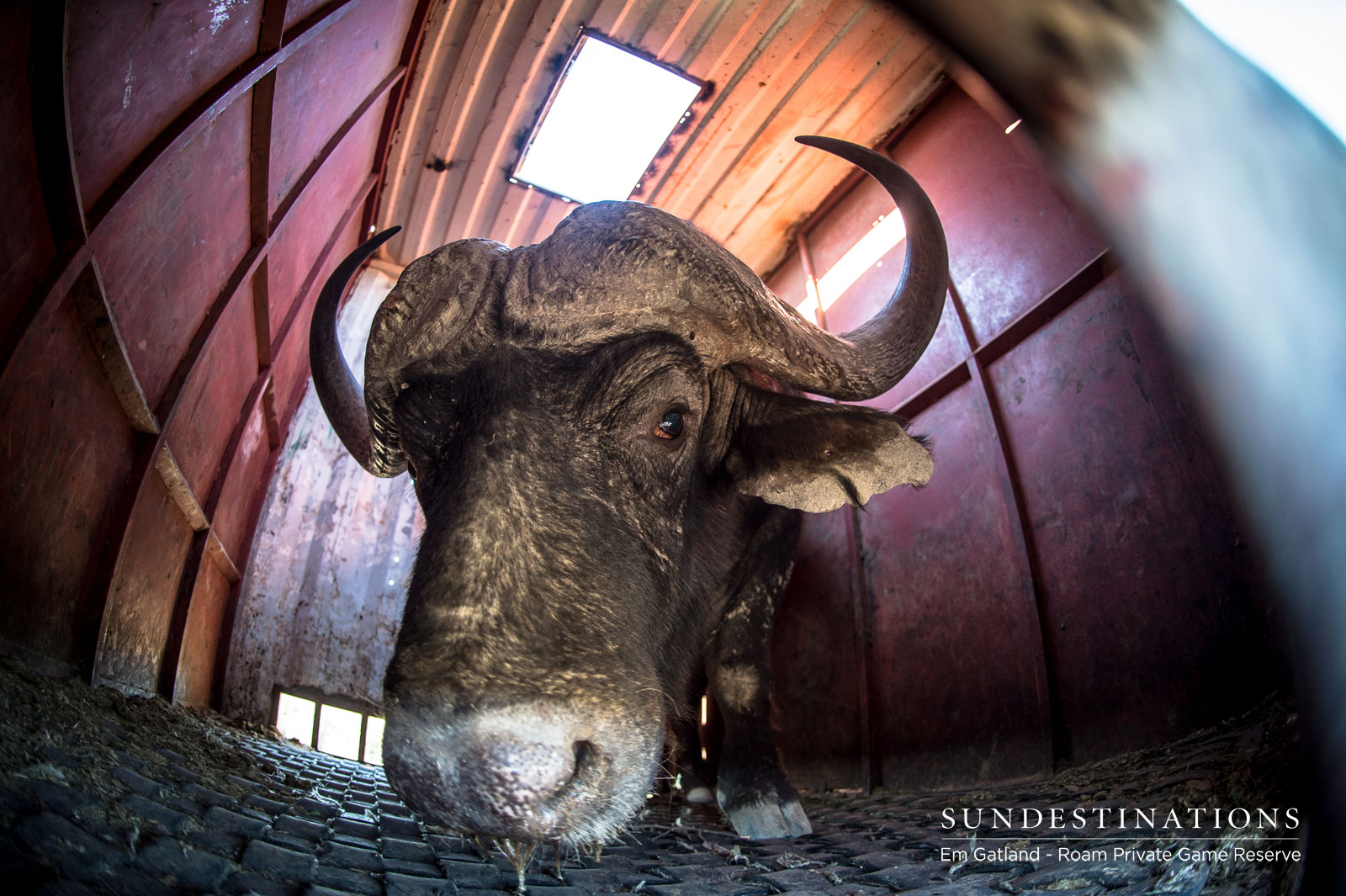 We Chat to Roam Private Game Reserve About the Resident Buffalo Herd