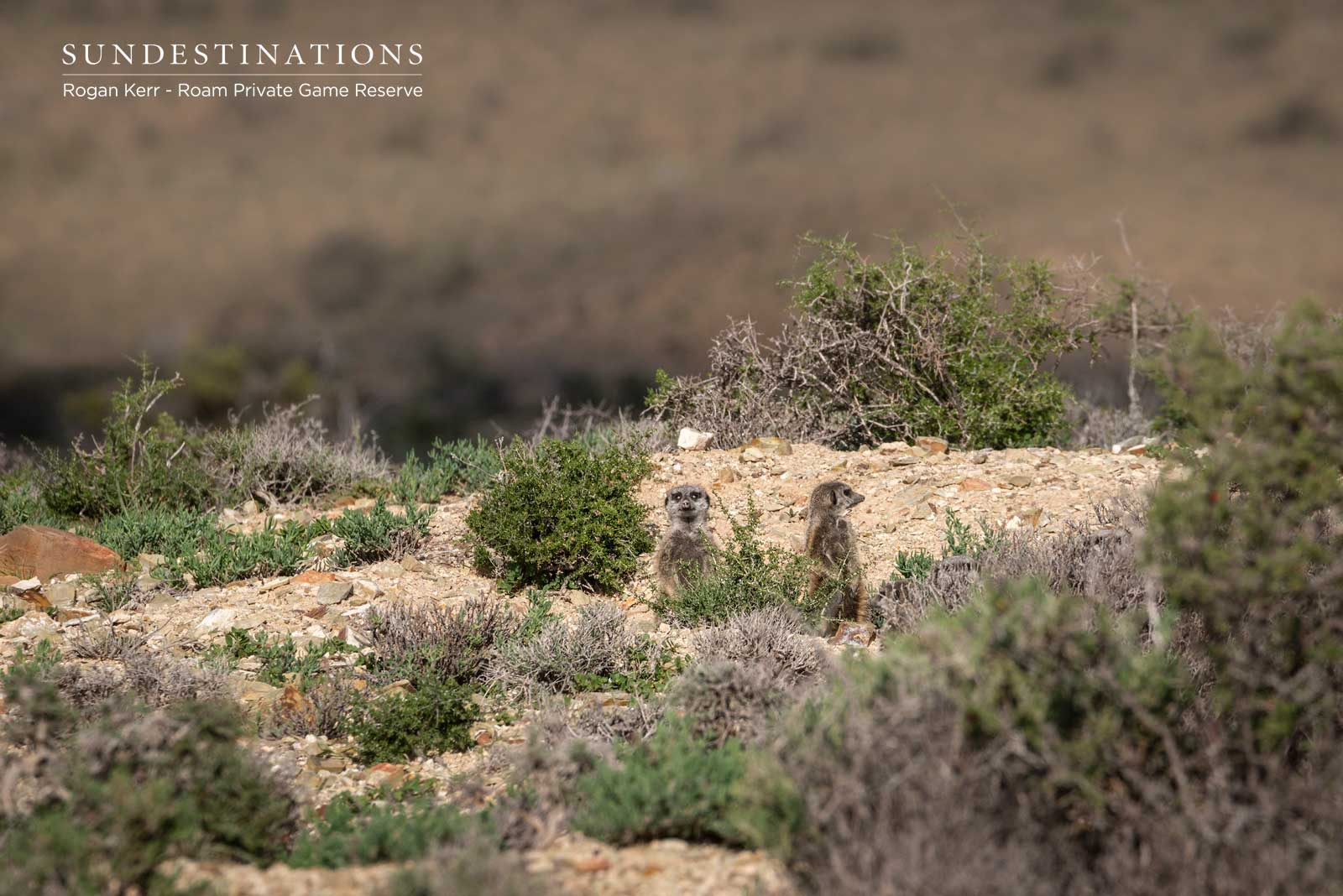 Meerkat Colony Great Karoo