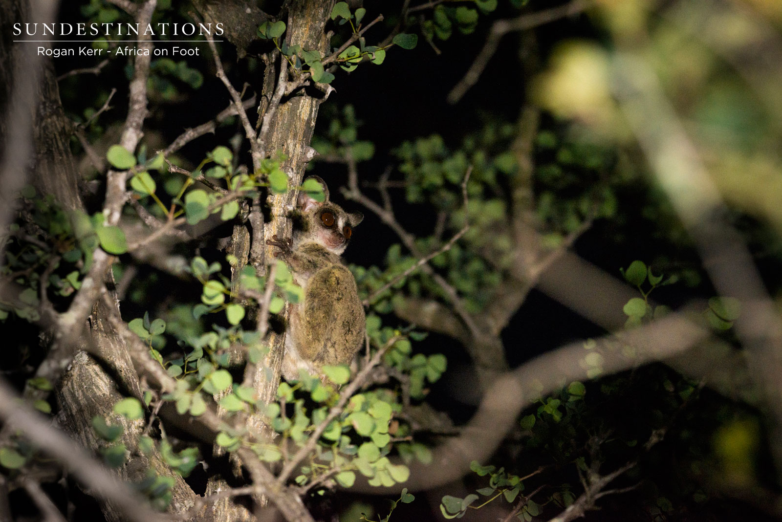 Africa on Foot Bush Baby