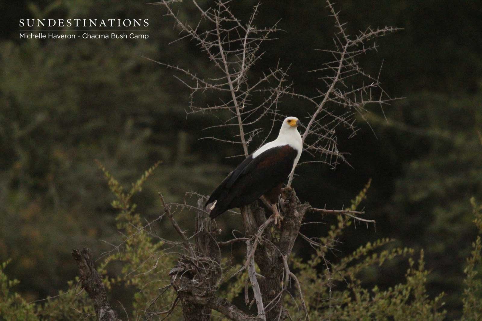 Chacma Bush Camp Fish Eagle