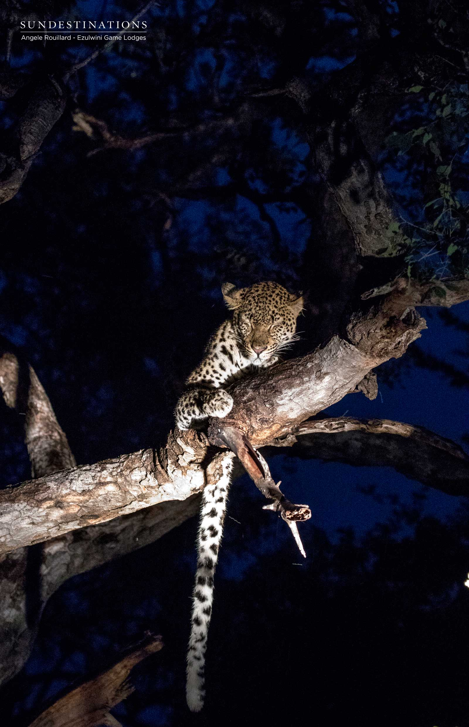 Balule Leopard at Ezulwini