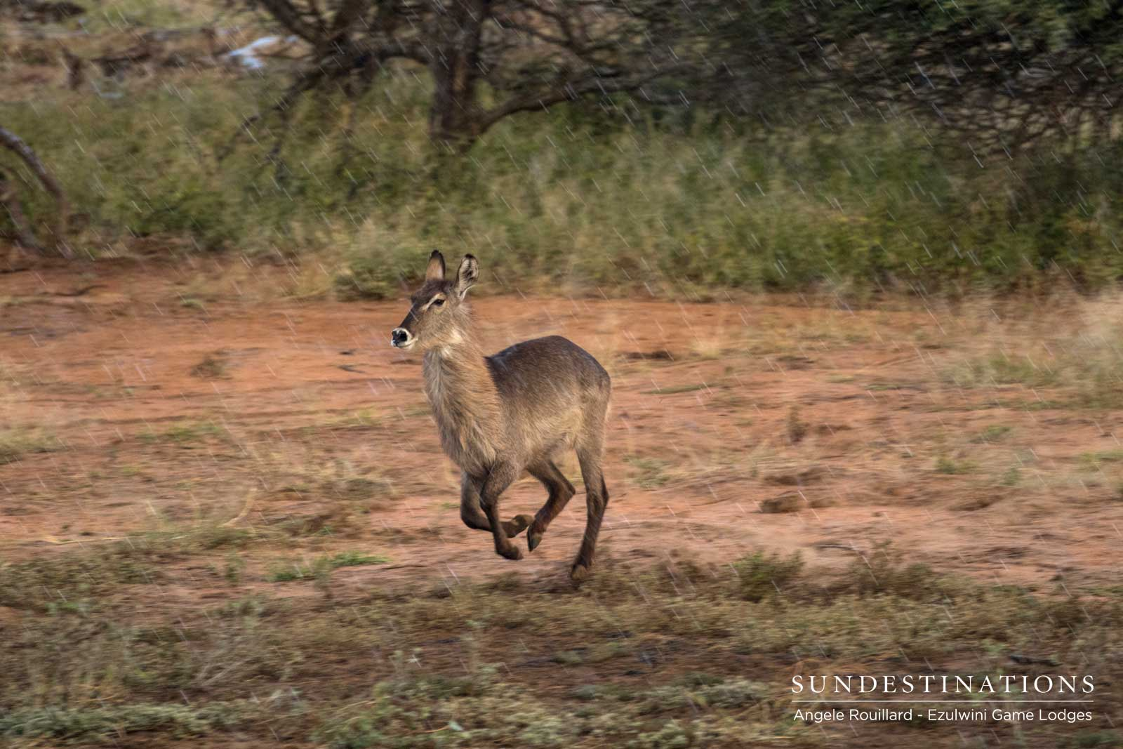 Waterbuck in Balule Nature Reserve