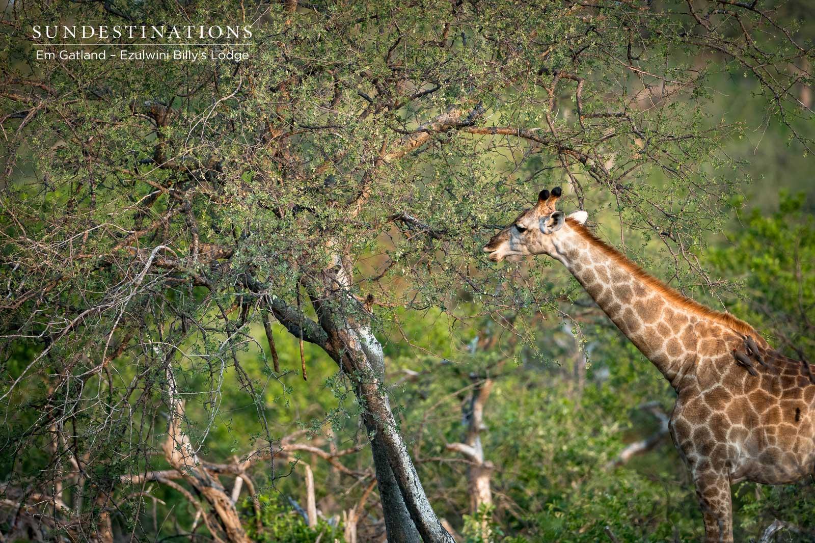 Ezulwini Giraffe
