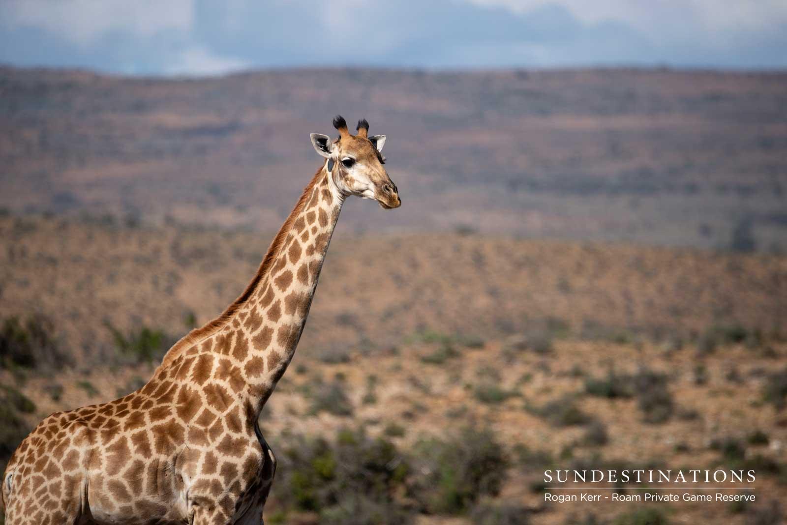 Giraffe in the Great Karoo