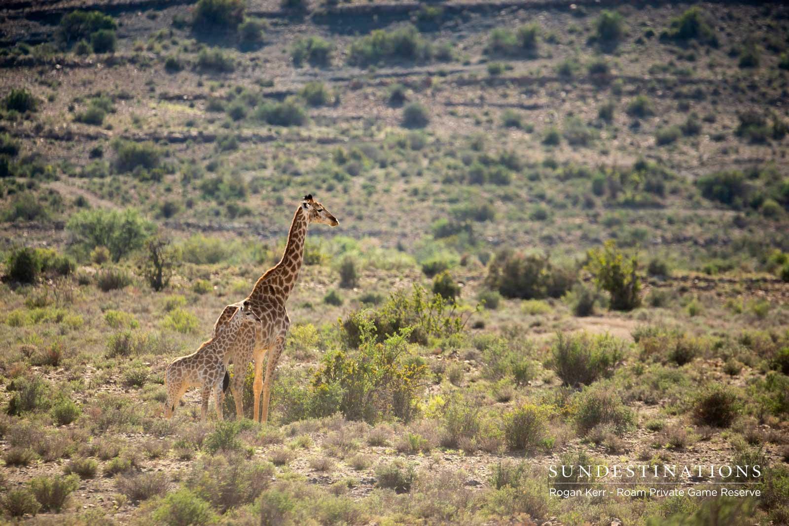 Karoo Giraffe
